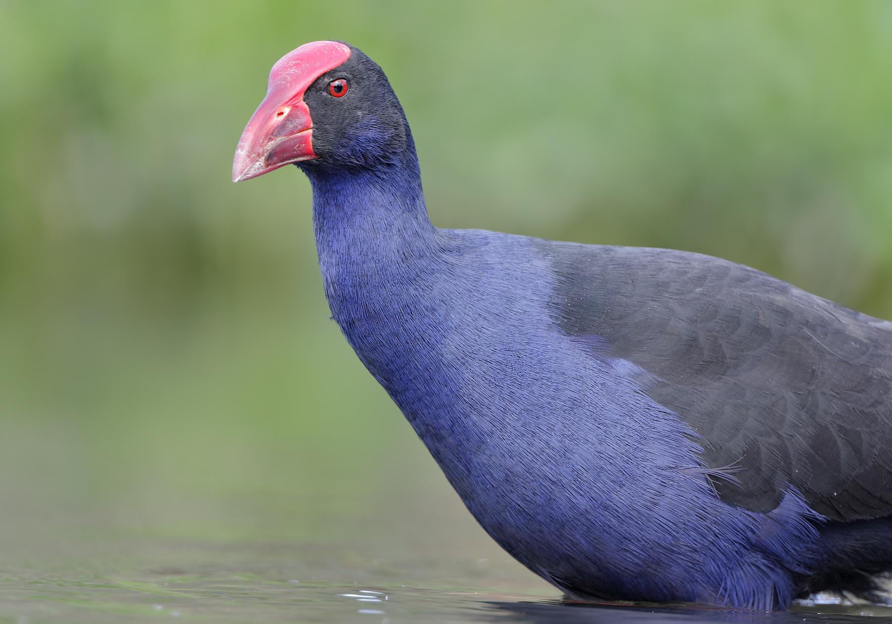 Purple Swamphen (Image ID 39793)