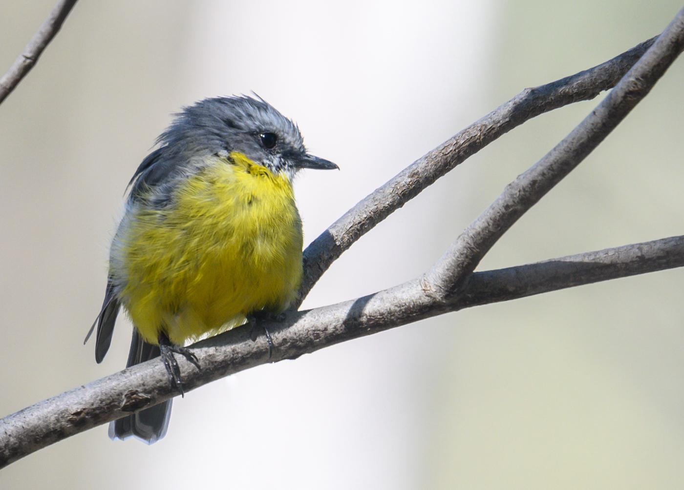 Eastern Yellow Robin (Image ID 39407)