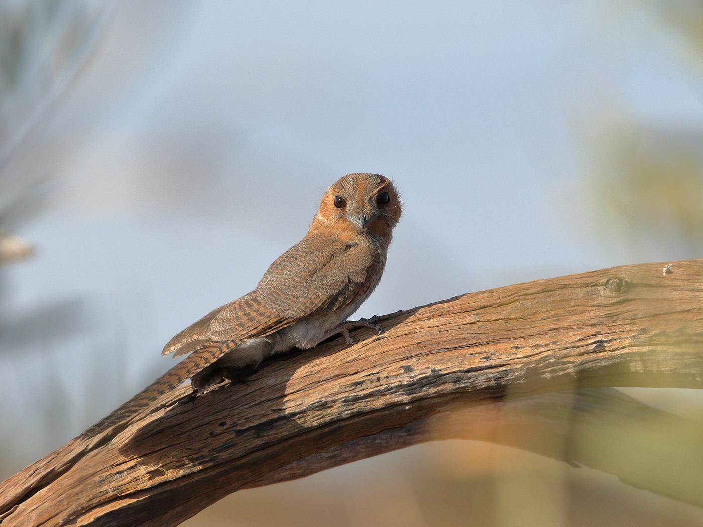 Australian Owlet-nightjar (Image ID 39424)