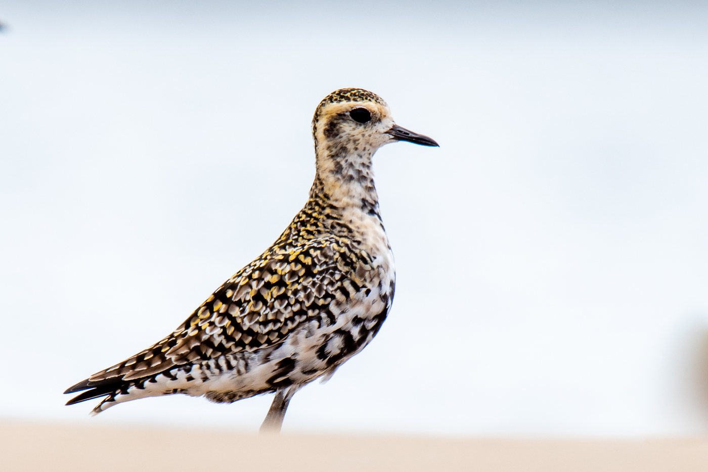 Pacific Golden Plover (Image ID 39585)