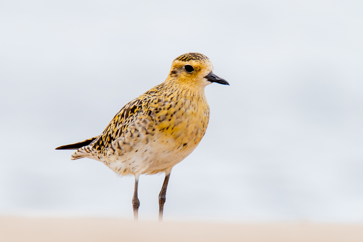 Pacific Golden Plover (Image ID 39586)