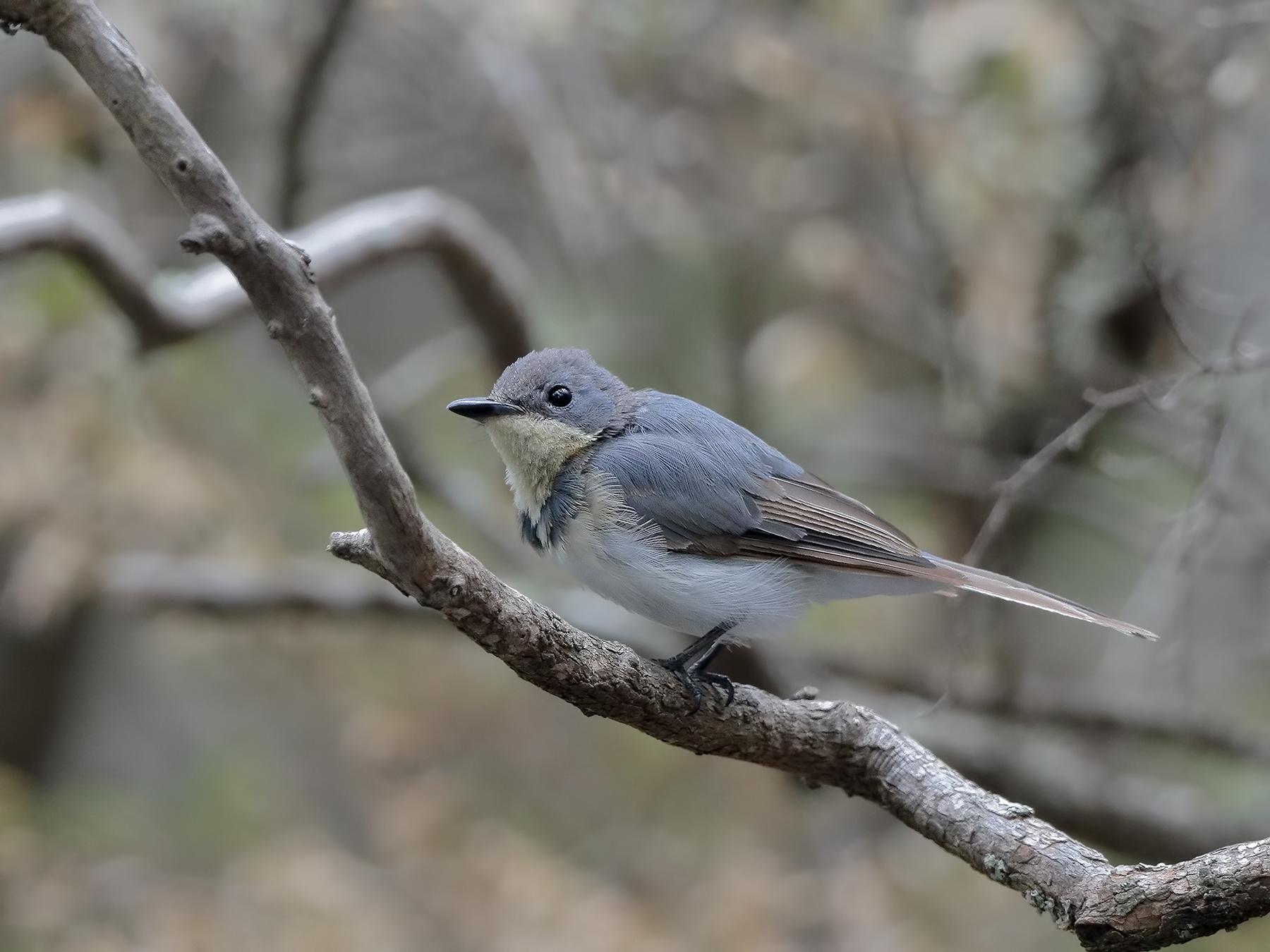 Leaden Flycatcher (Image ID 39703)