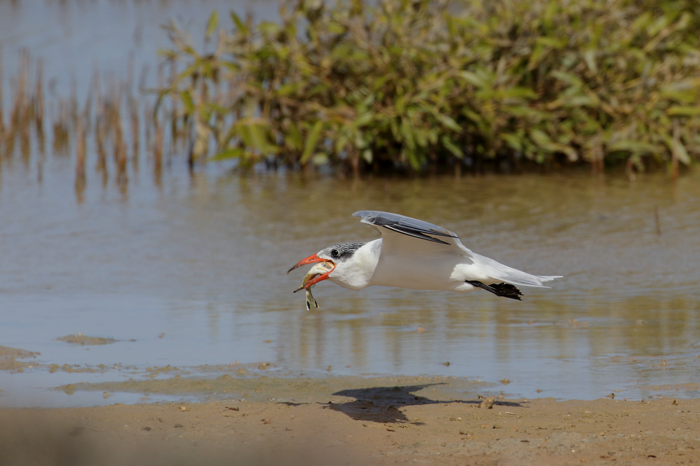 Caspian Tern (Image ID 39610)