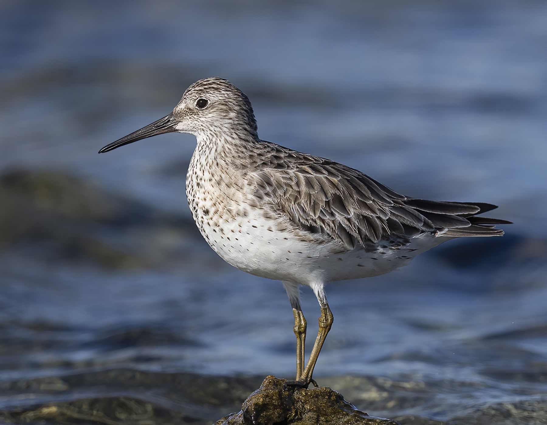 Great Knot (Image ID 39557)