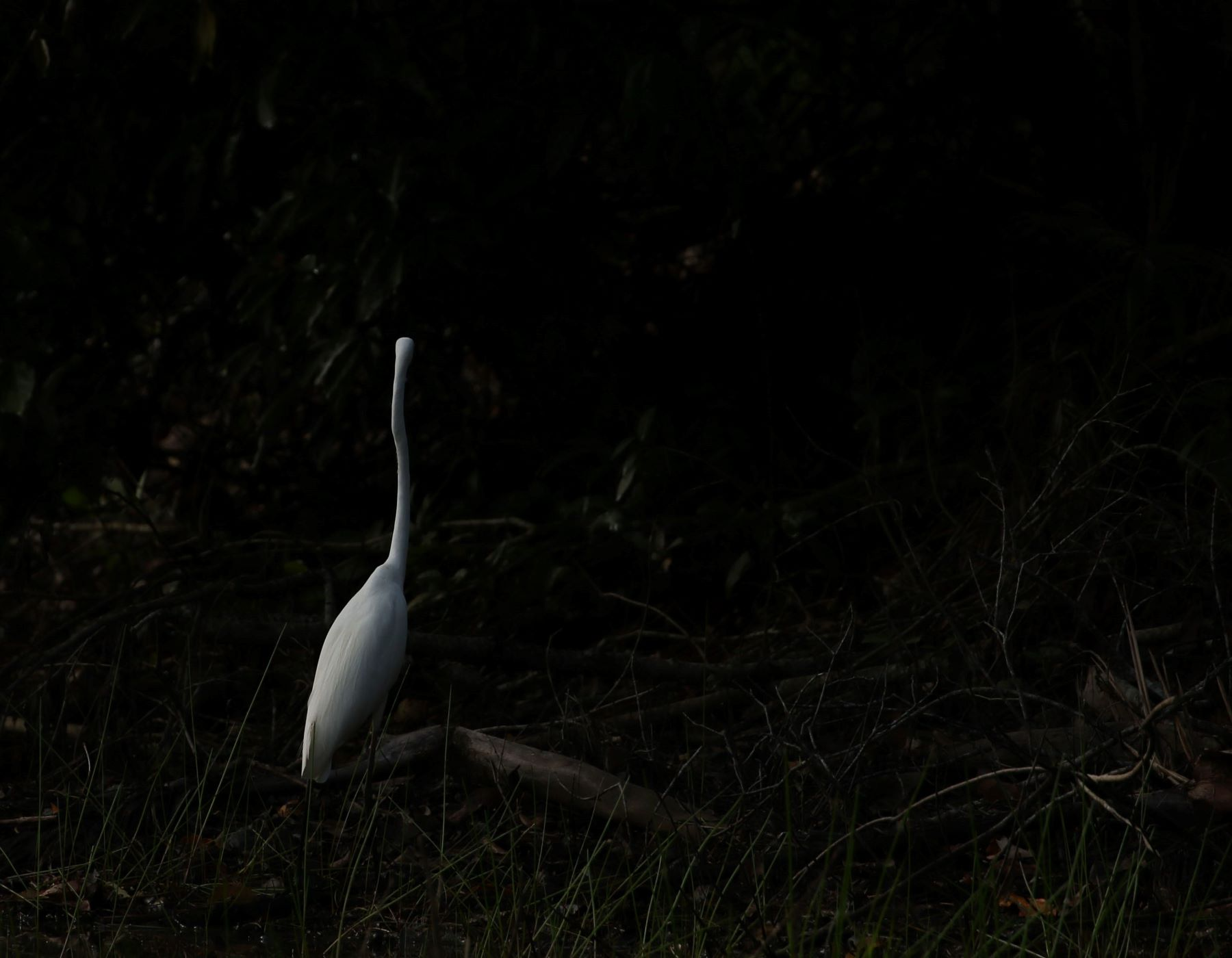 Great Egret (Image ID 39635)