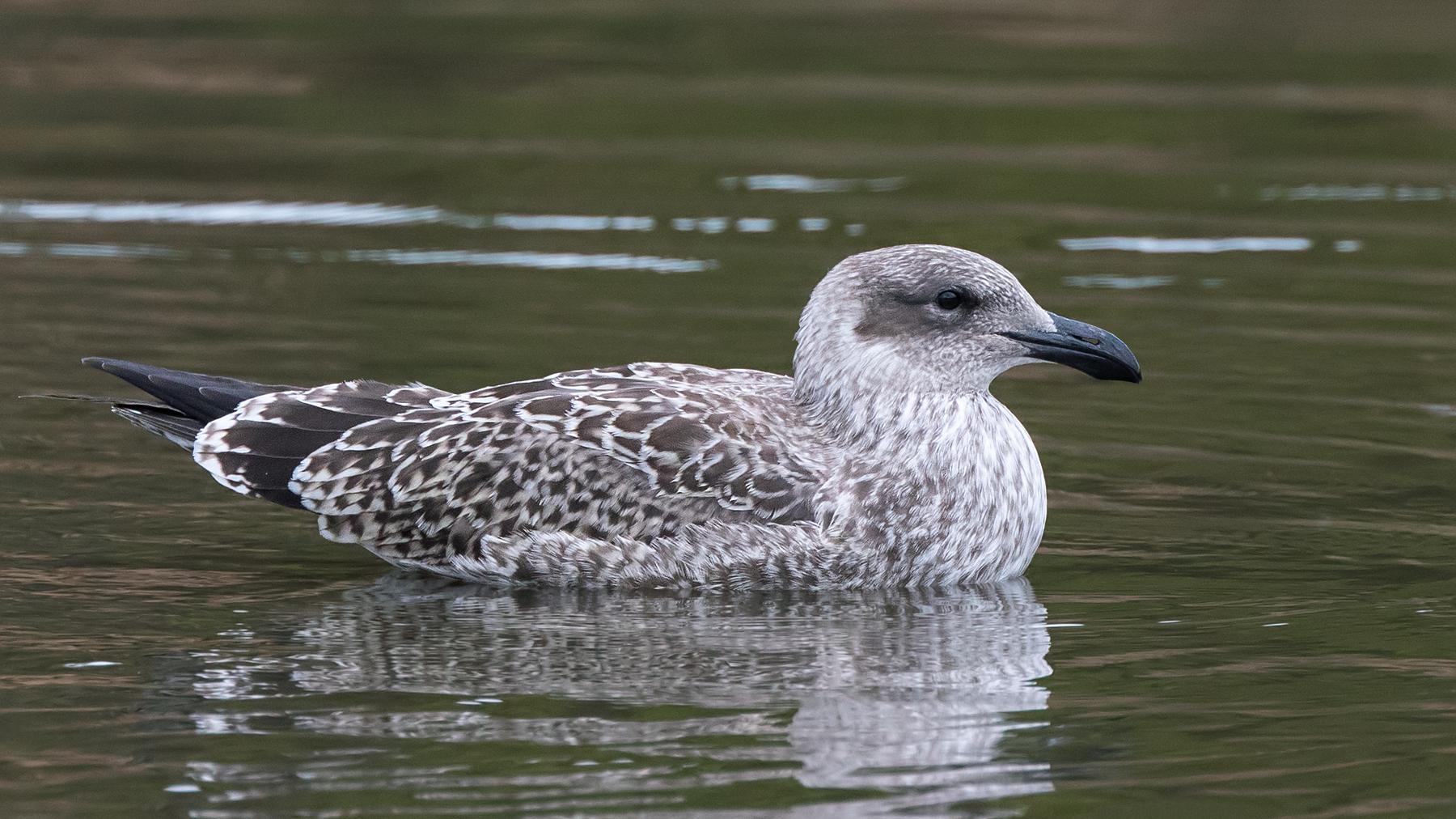 Kelp Gull (Image ID 39545)