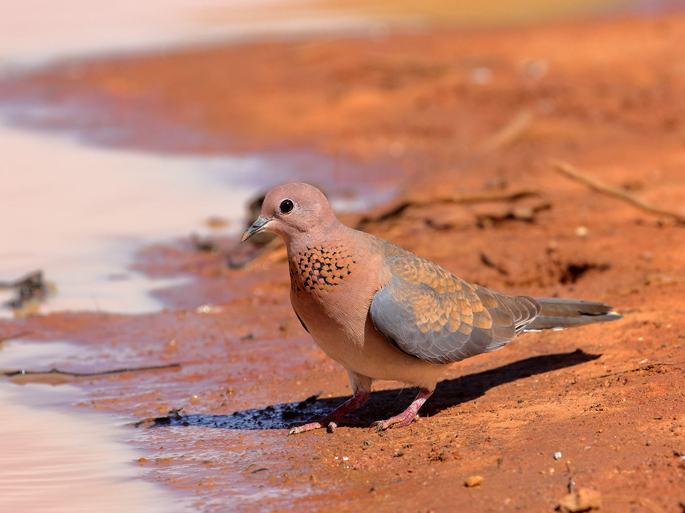 Laughing Dove (Image ID 39800)