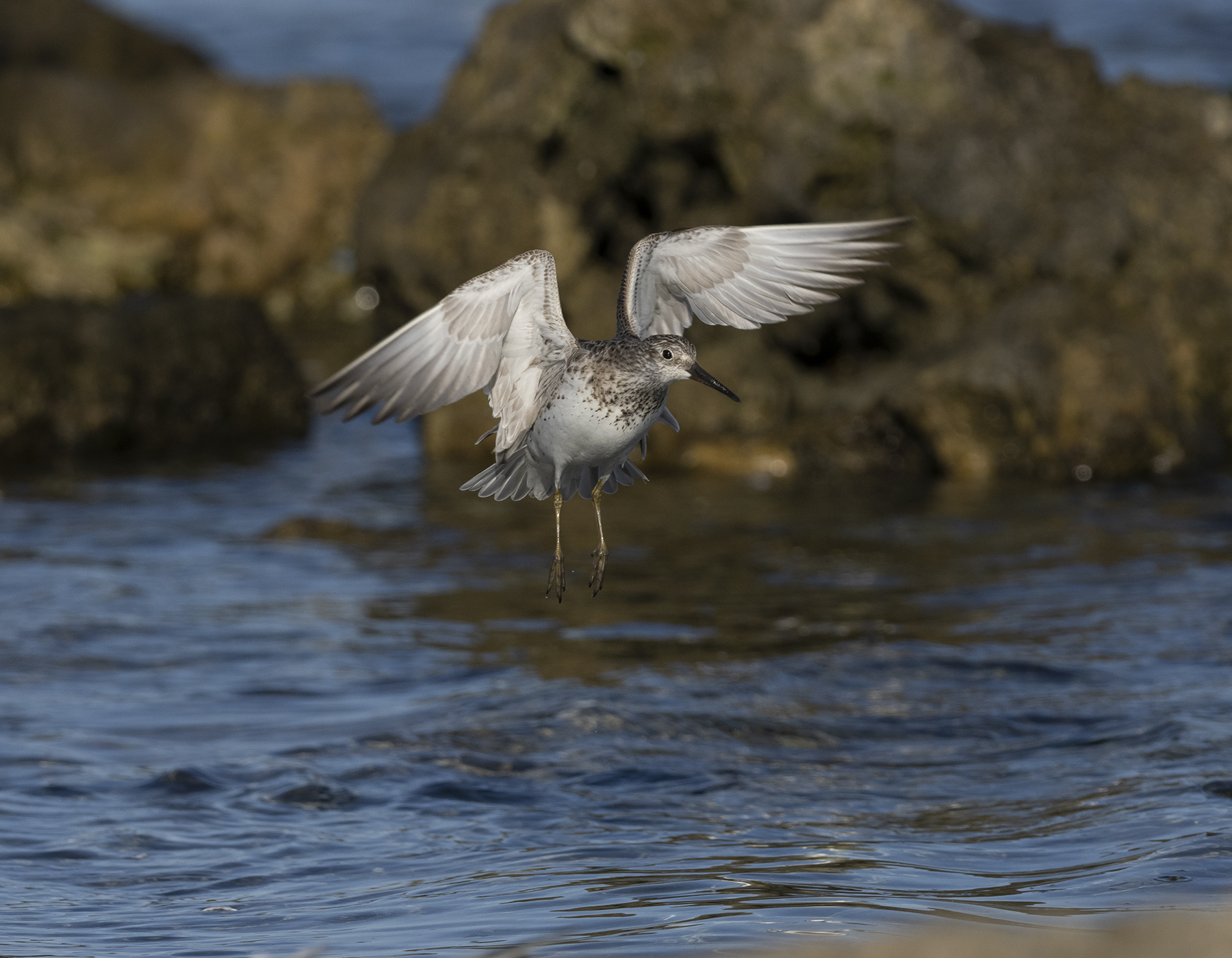 Great Knot (Image ID 39558)