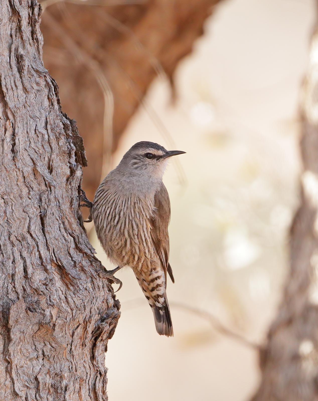 Brown Treecreeper (Image ID 39630)