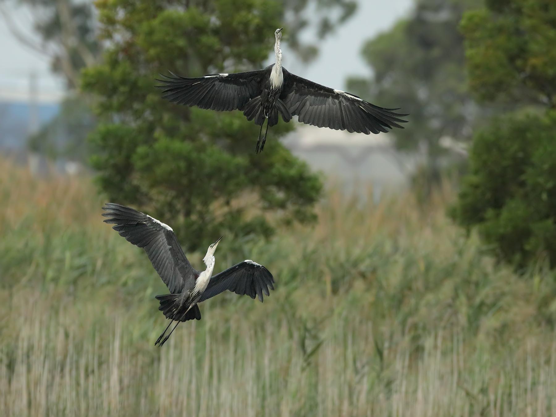 White-necked Heron (Image ID 39508)