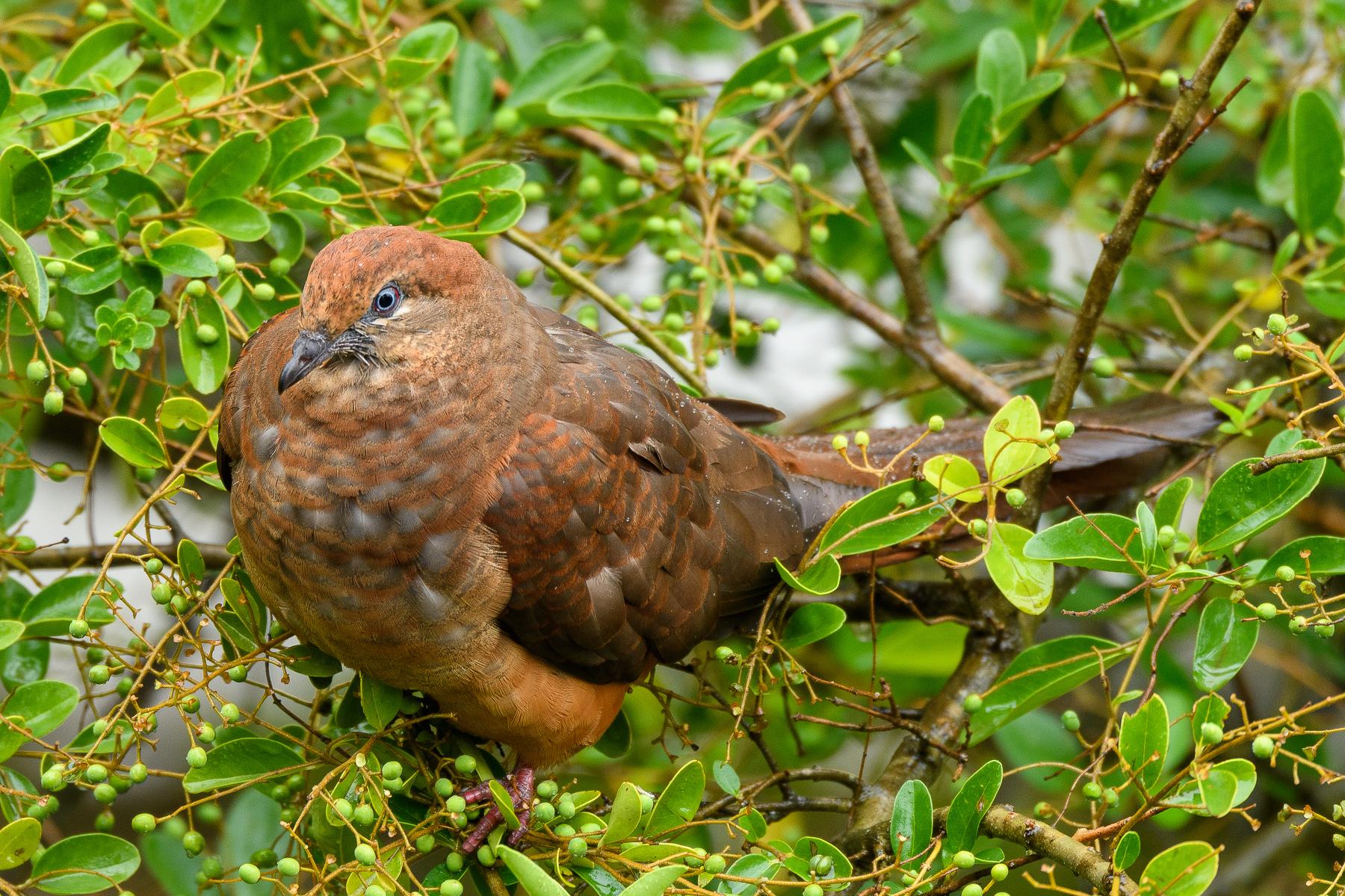 Brown Cuckoo-Dove (Image ID 39472)