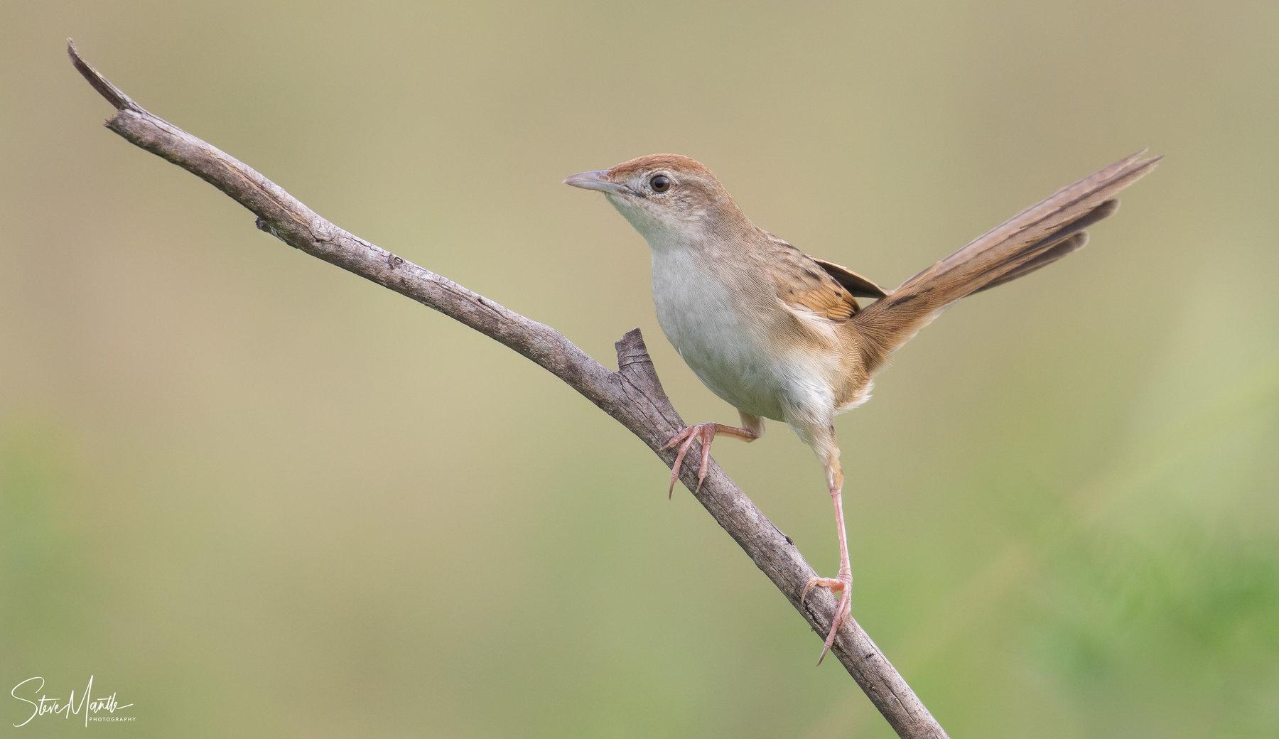 Tawny Grassbird (Image ID 39471)