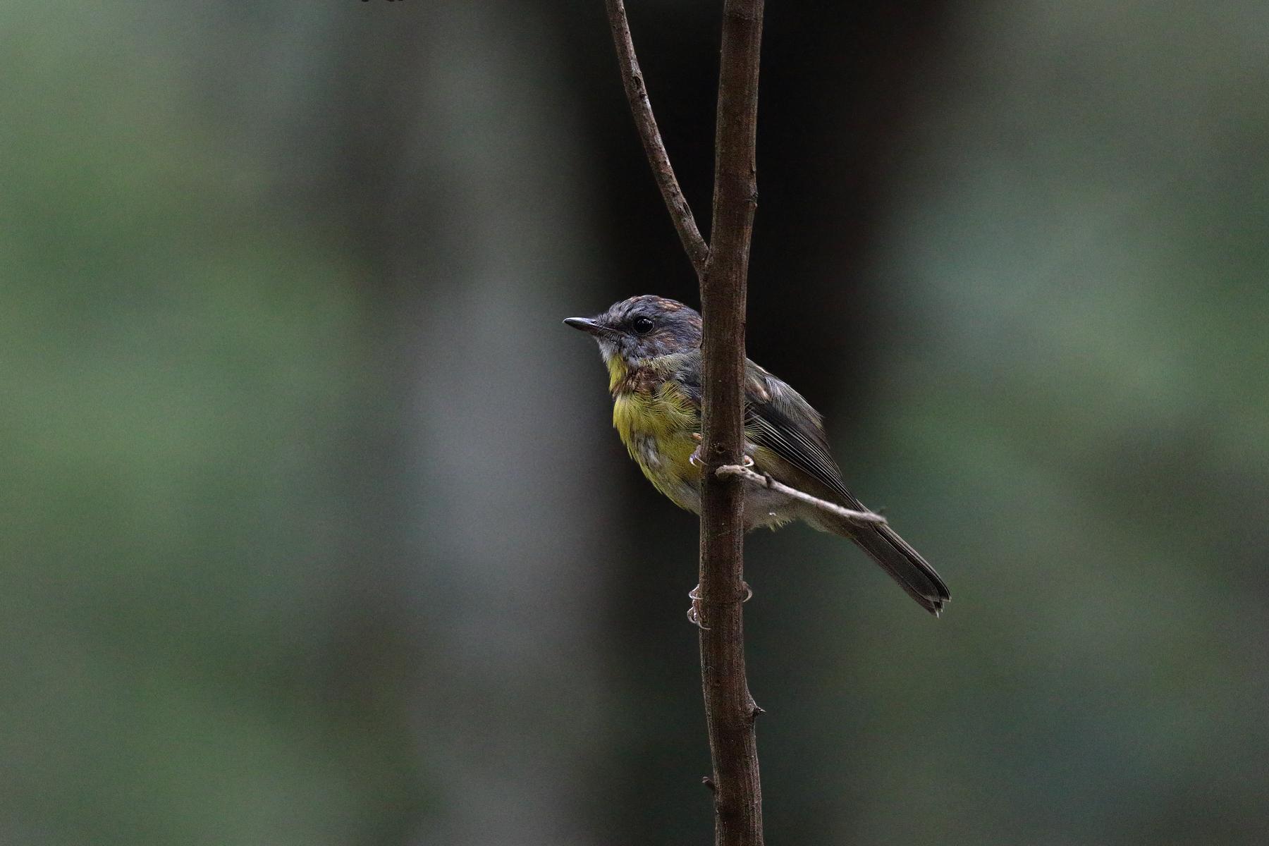 Eastern Yellow Robin (Image ID 39483)
