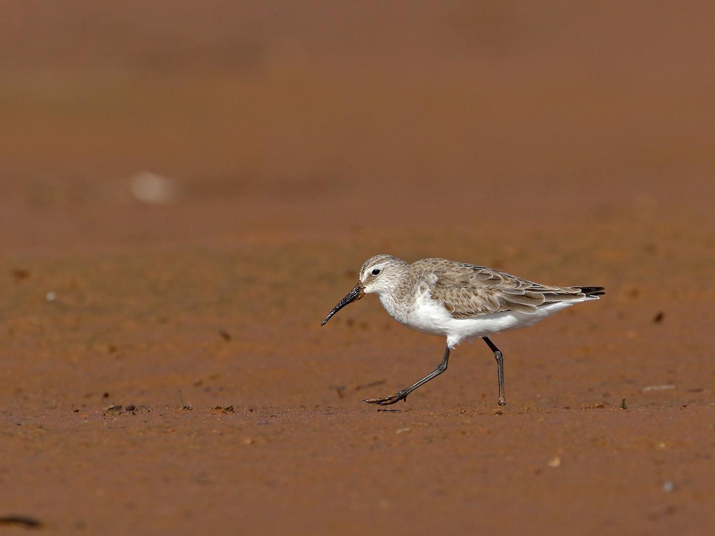 Curlew Sandpiper (Image ID 39412)