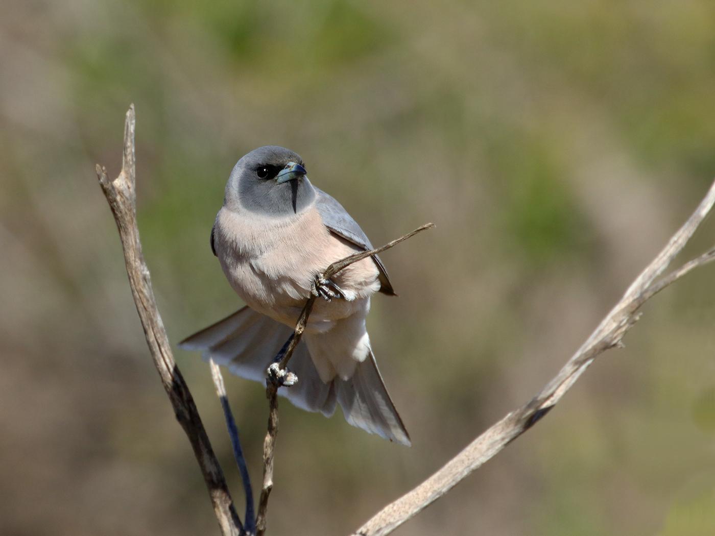 Masked Woodswallow (Image ID 39672)