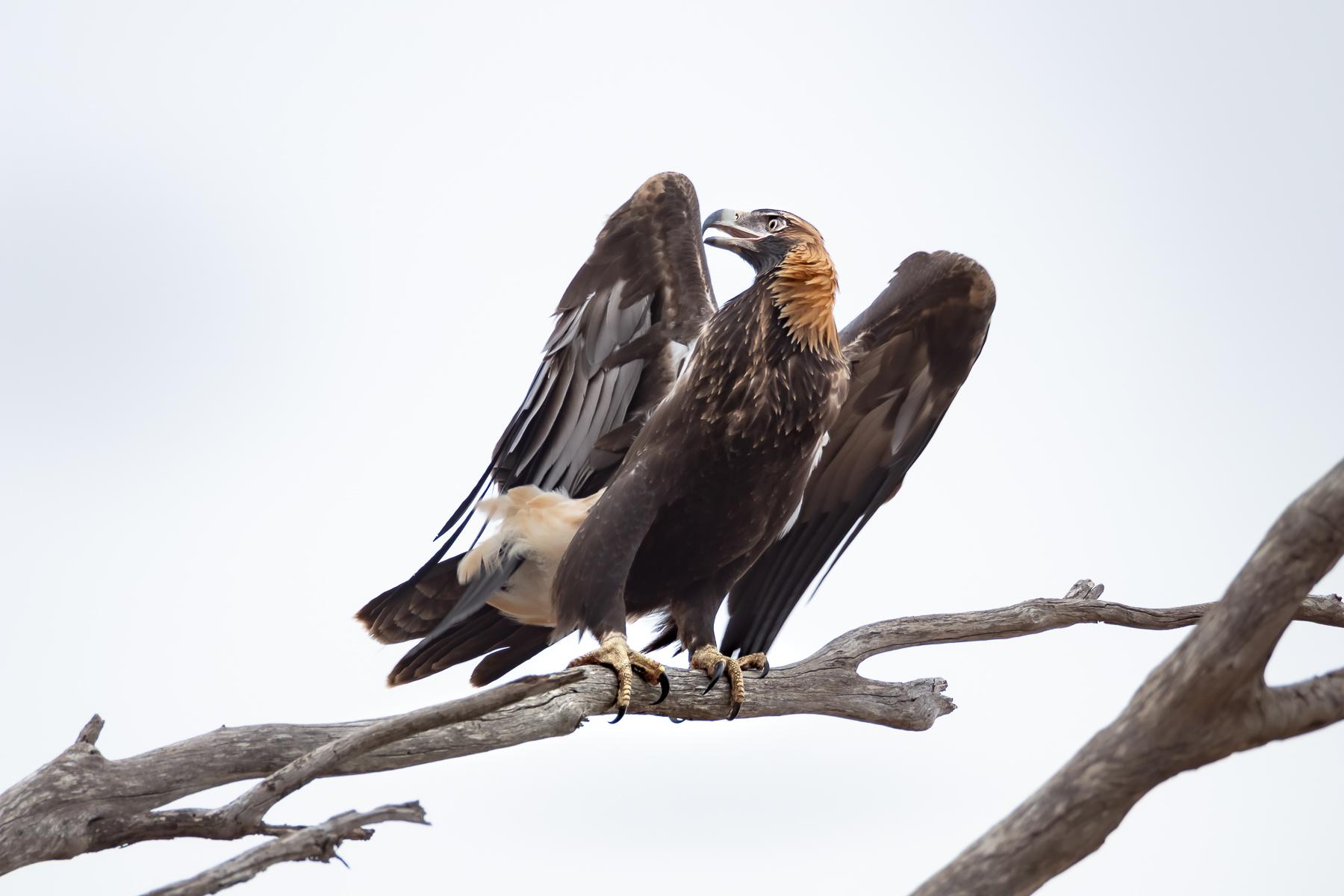 Wedge-tailed Eagle (Image ID 39628)
