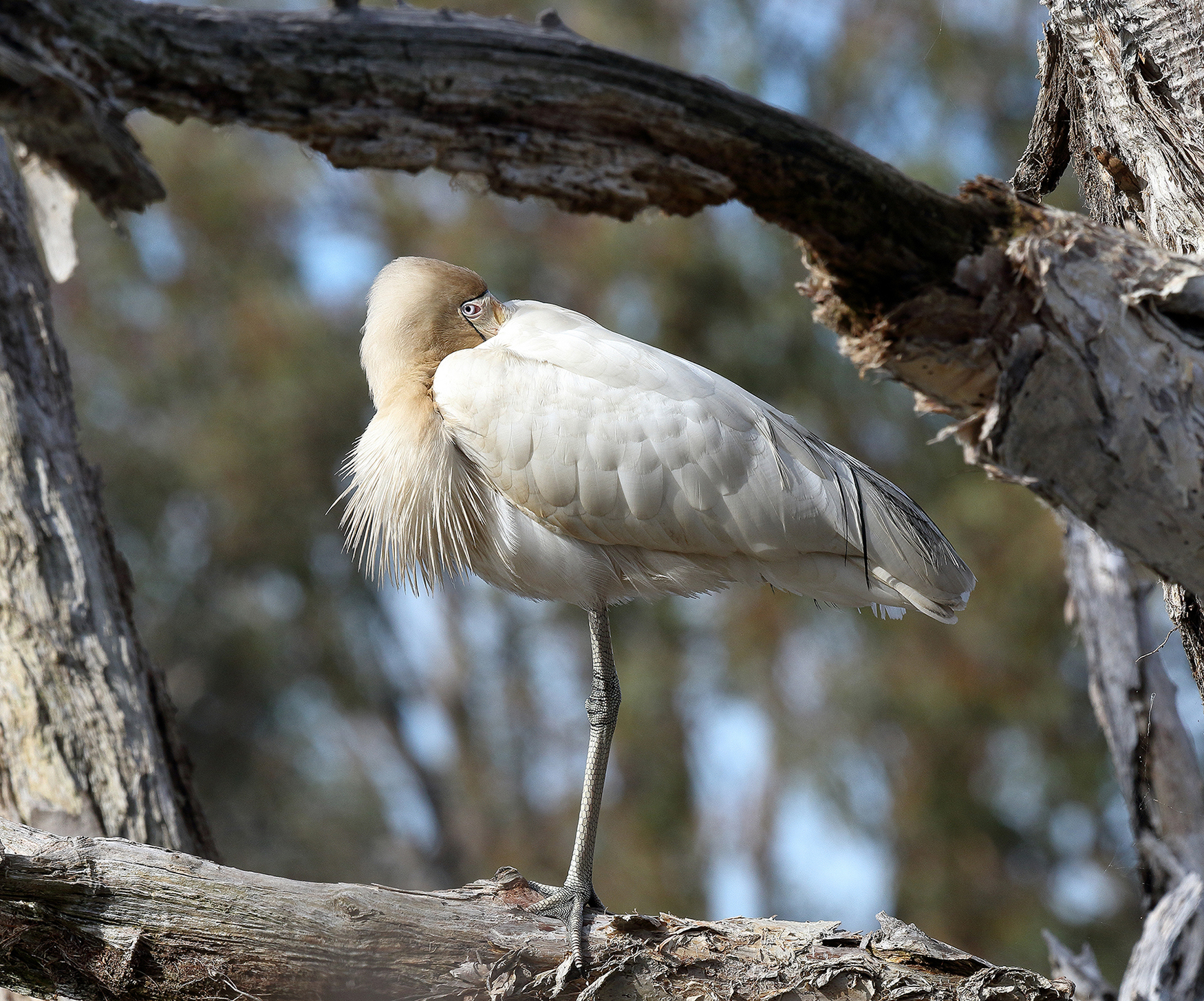 Yellow-billed Spoonbill (Image ID 39755)