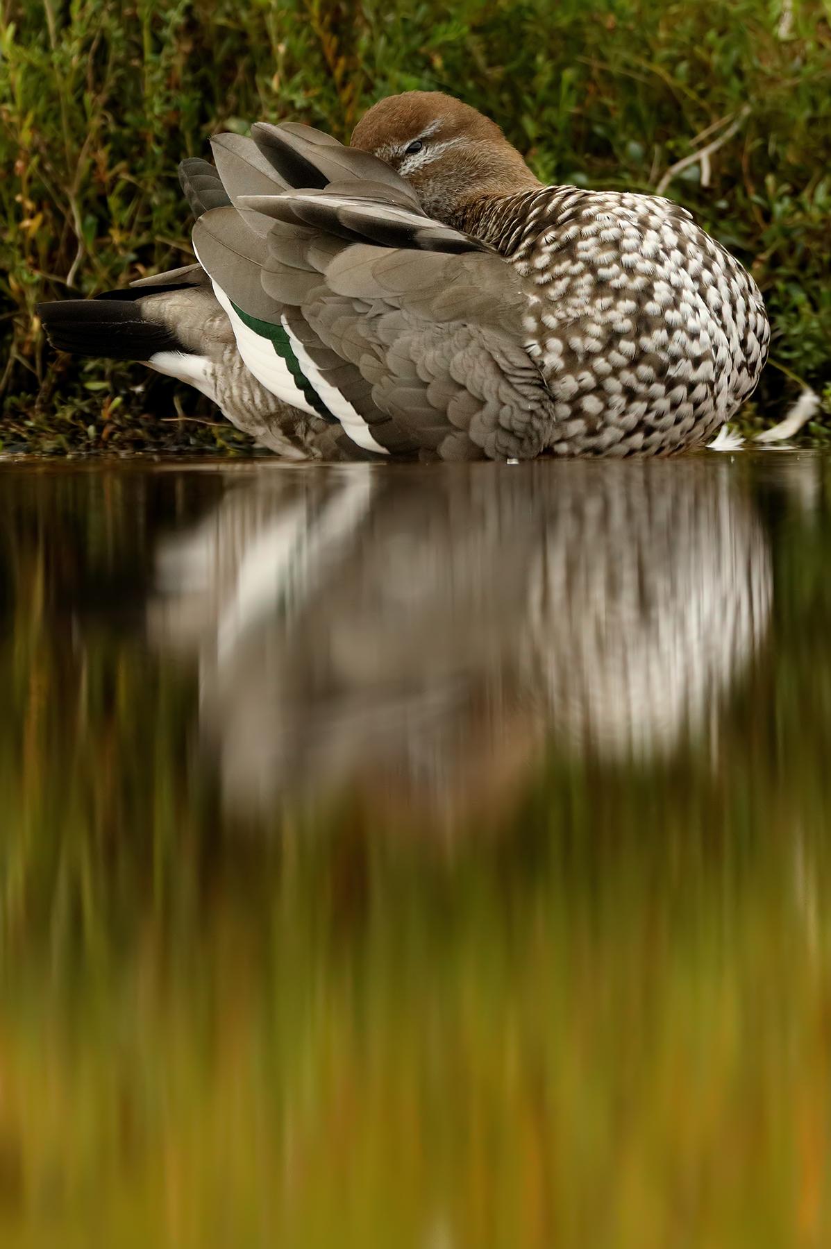 Australian Wood Duck (Image ID 39702)