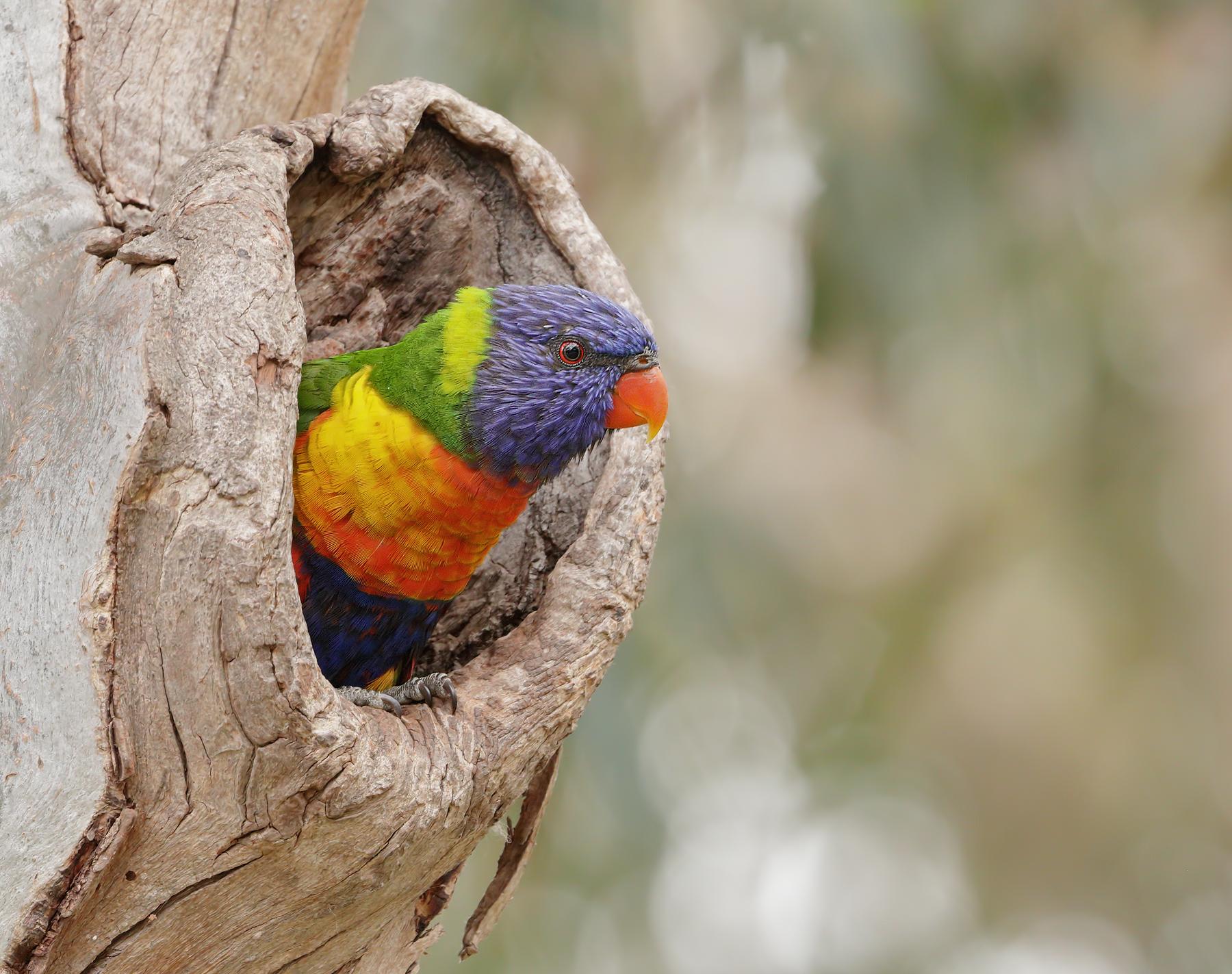 Rainbow Lorikeet* (Image ID 39619)