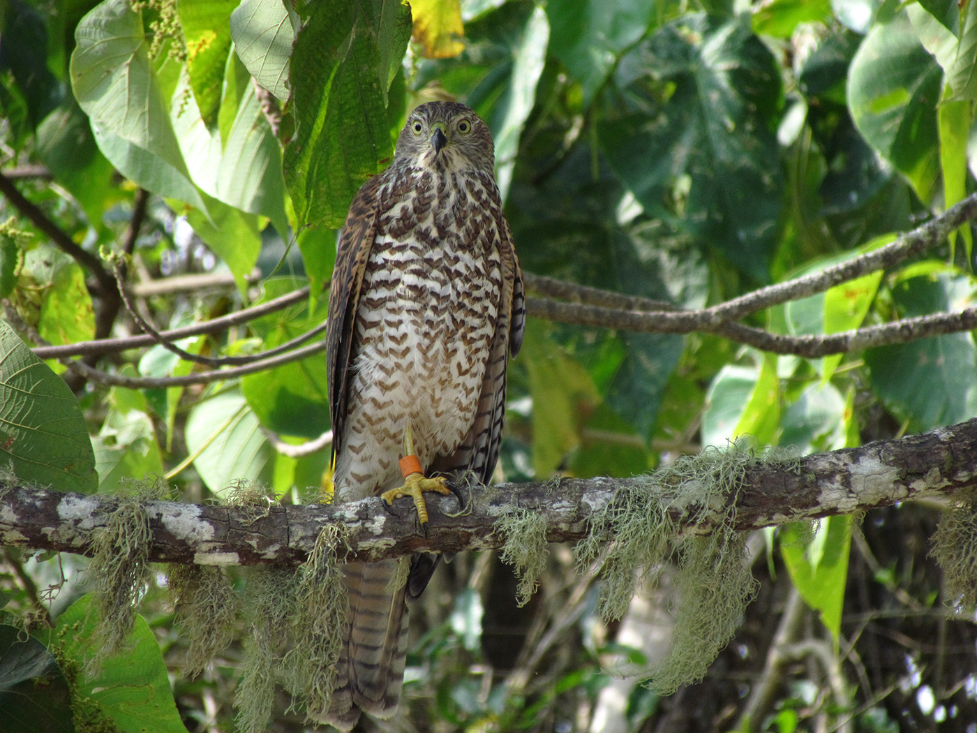 Collared Sparrowhawk (Image ID 39460)