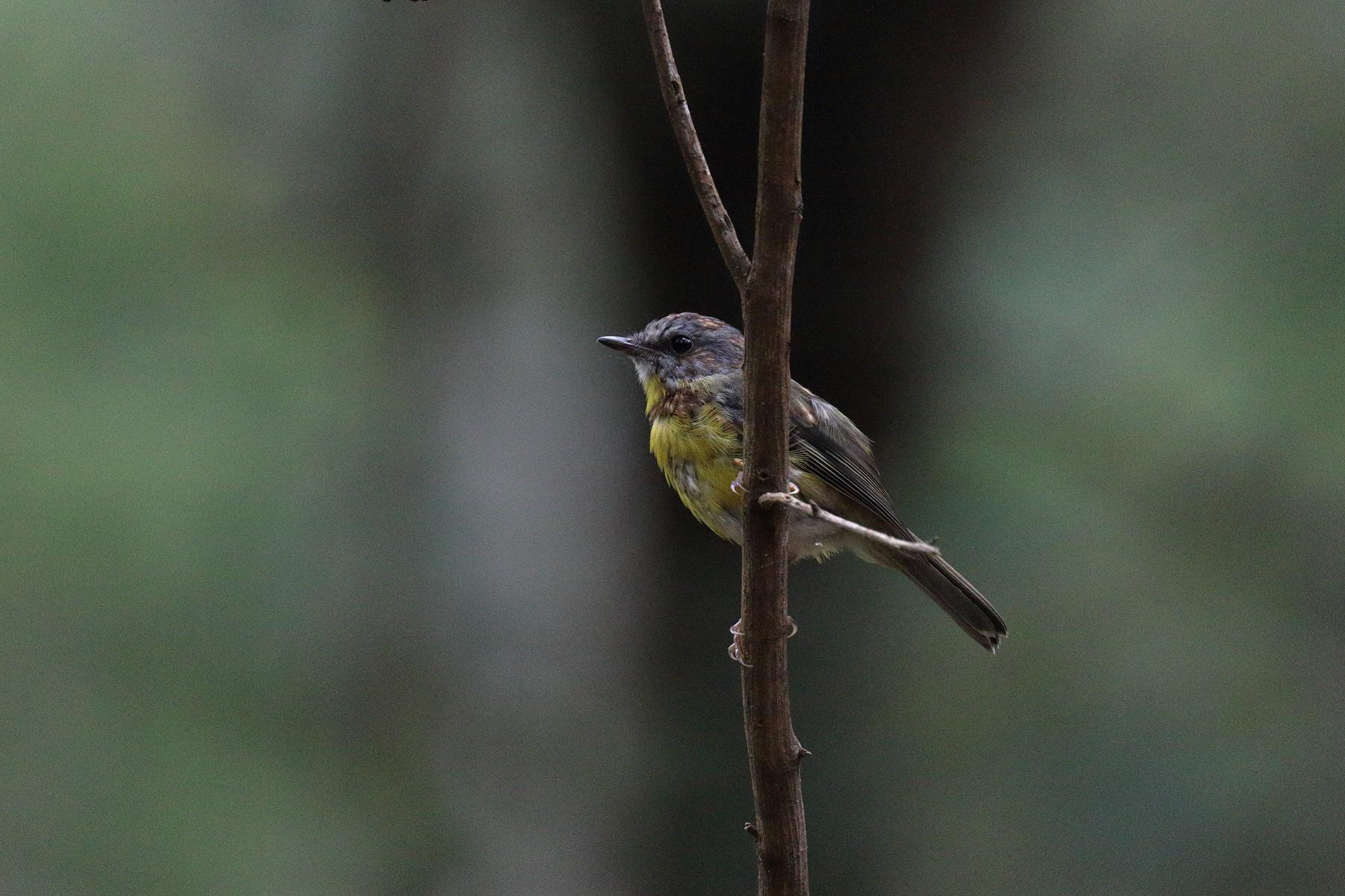 Eastern Yellow Robin (Image ID 39482)