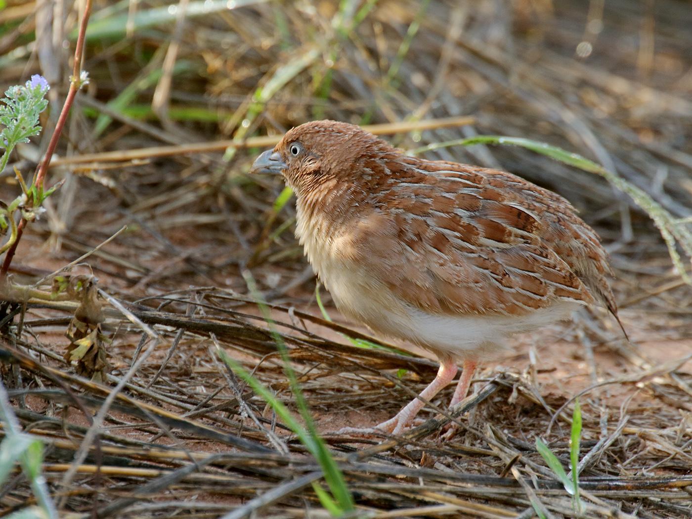 Little Button-quail (Image ID 39422)