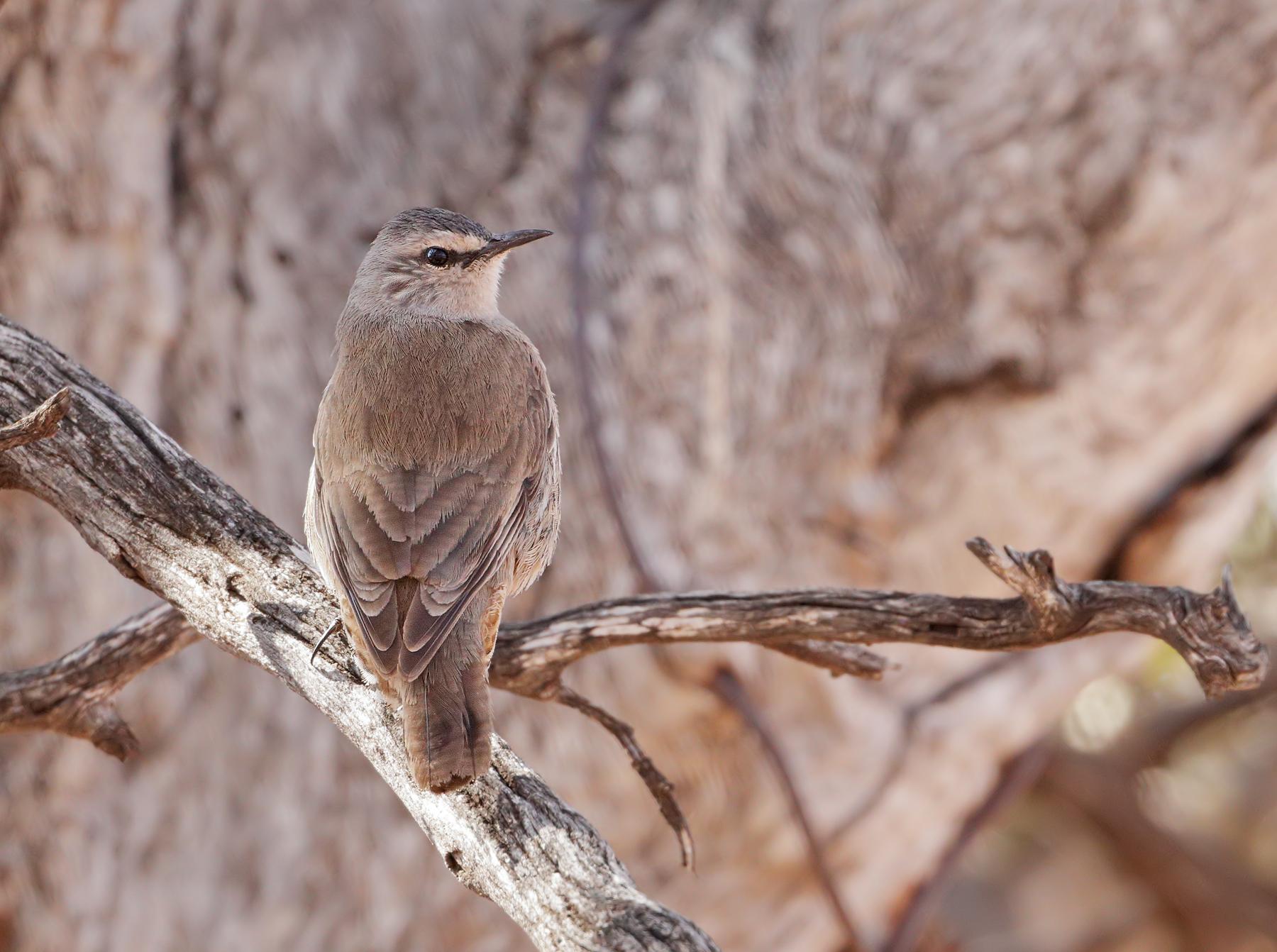Brown Treecreeper (Image ID 39631)