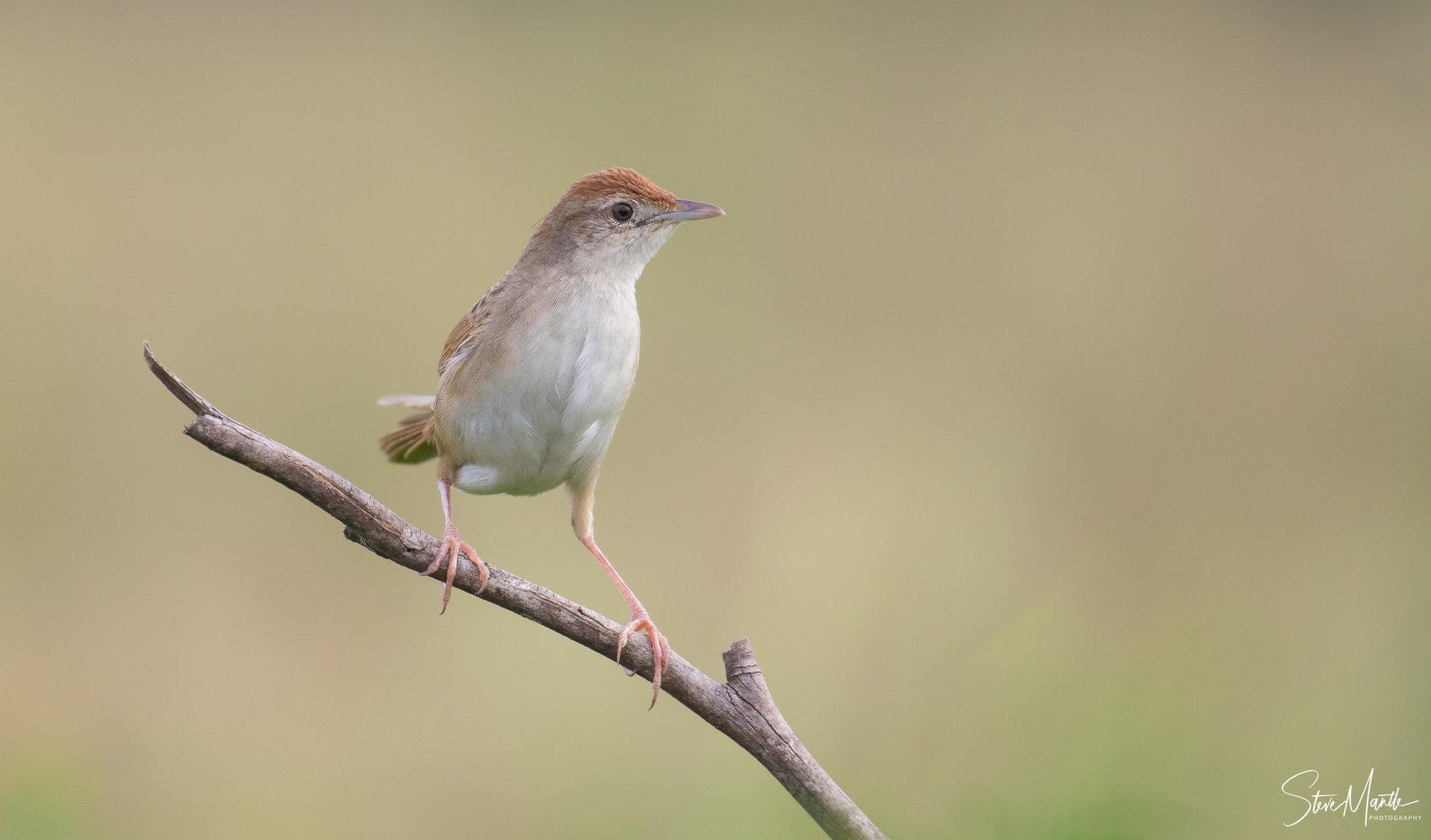 Tawny Grassbird (Image ID 39469)