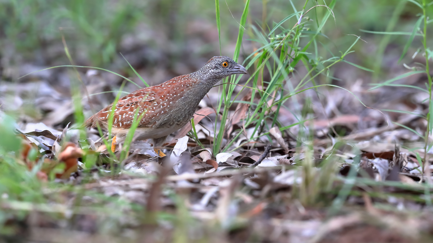 Chestnut-backed Button-quail (Image ID 39595)
