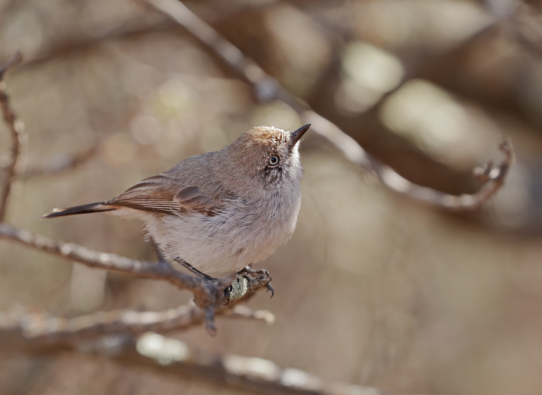 Chestnut-rumped Thornbill (Image ID 39640)