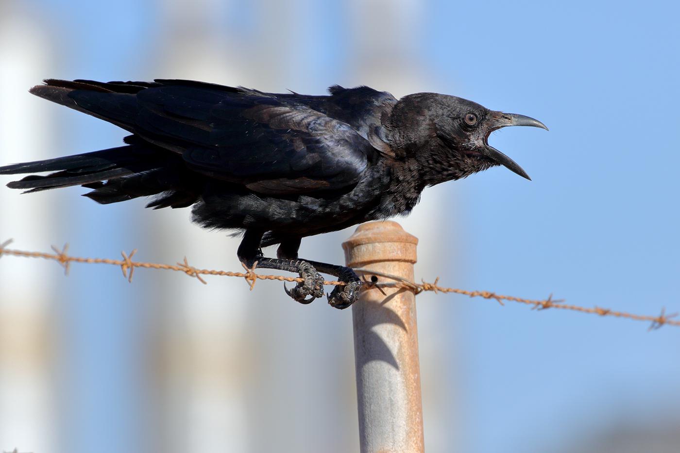 Little Crow (Image ID 39539)