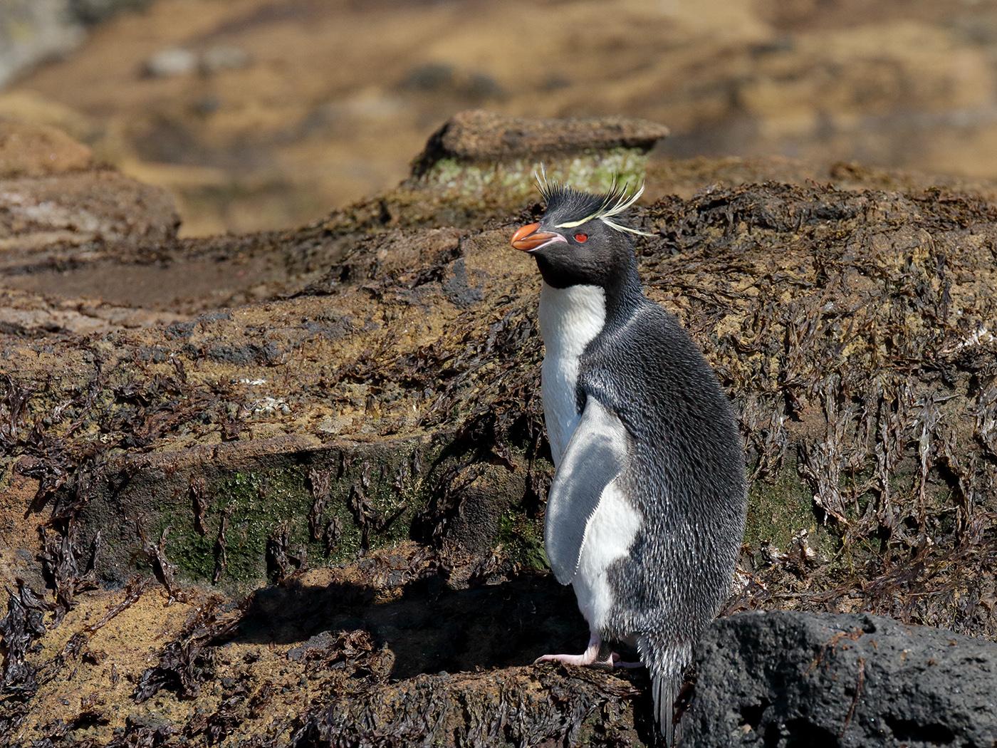Southern Rockhopper Penguin (Image ID 39550)