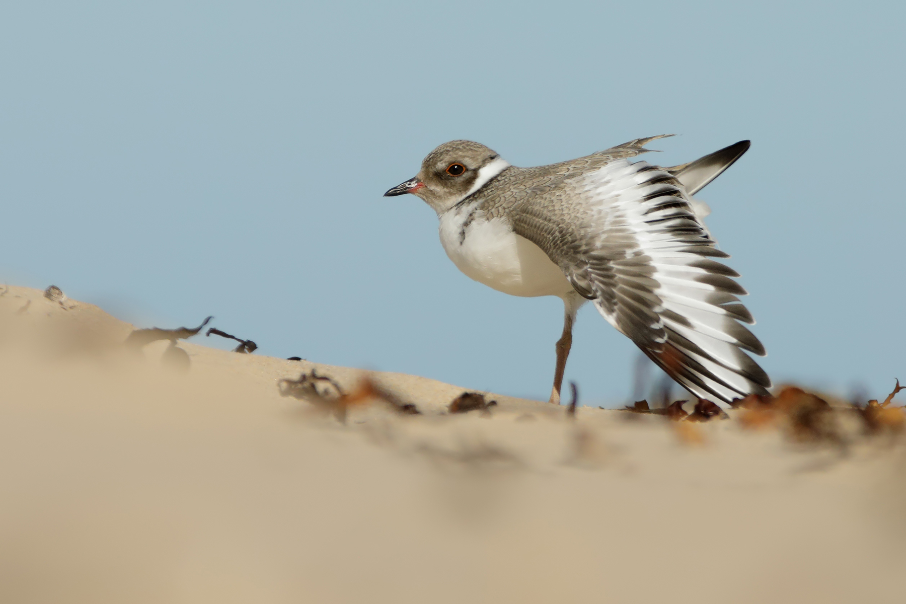 Hooded Plover (Image ID 39670)