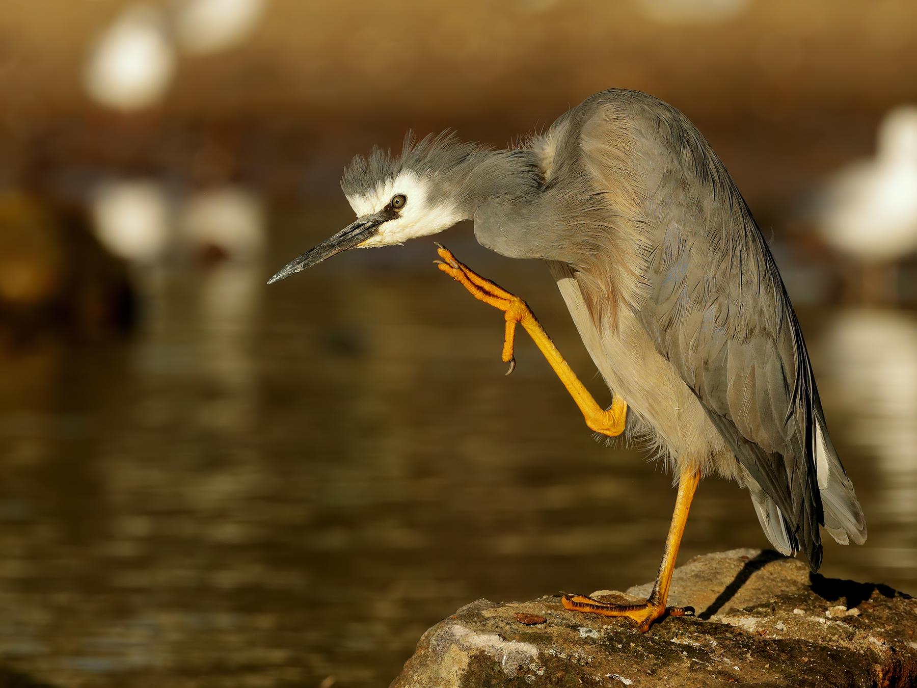 White-faced Heron (Image ID 39777)