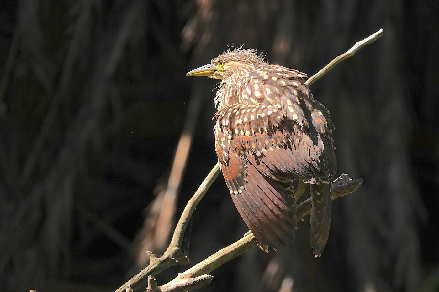 Nankeen Night-Heron (Image ID 39403)