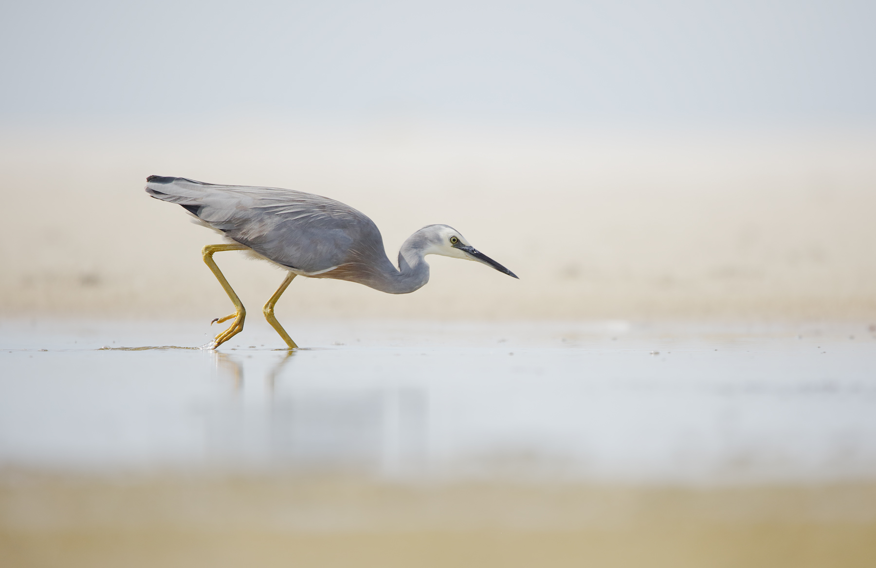 White-faced Heron (Image ID 39502)