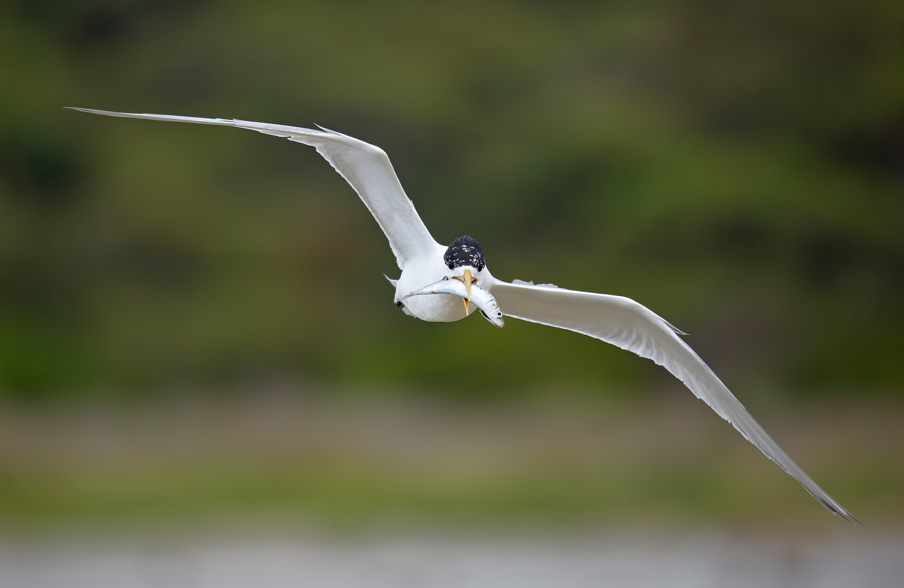 Greater Crested Tern (Image ID 39737)