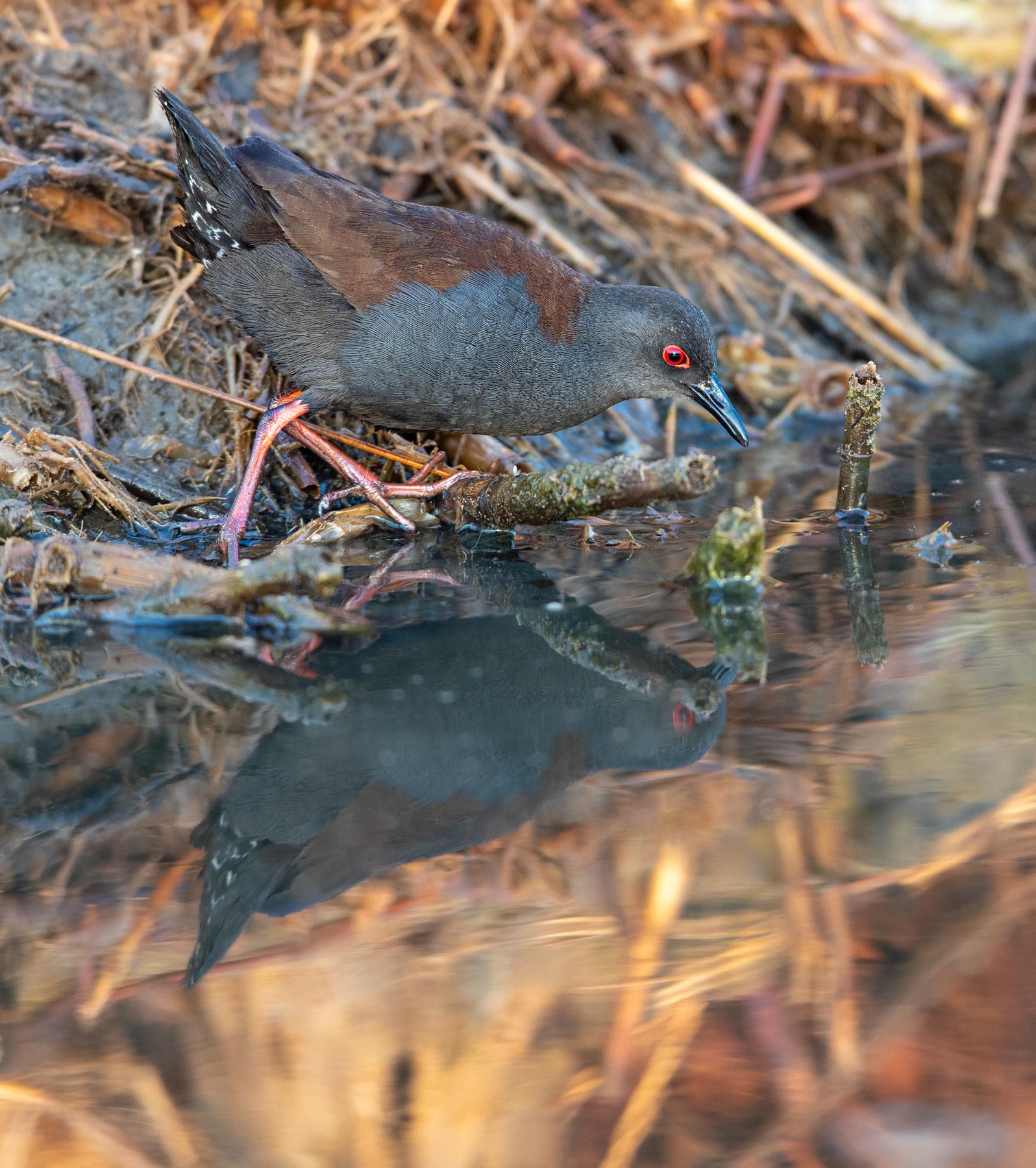 Spotless Crake (Image ID 39723)
