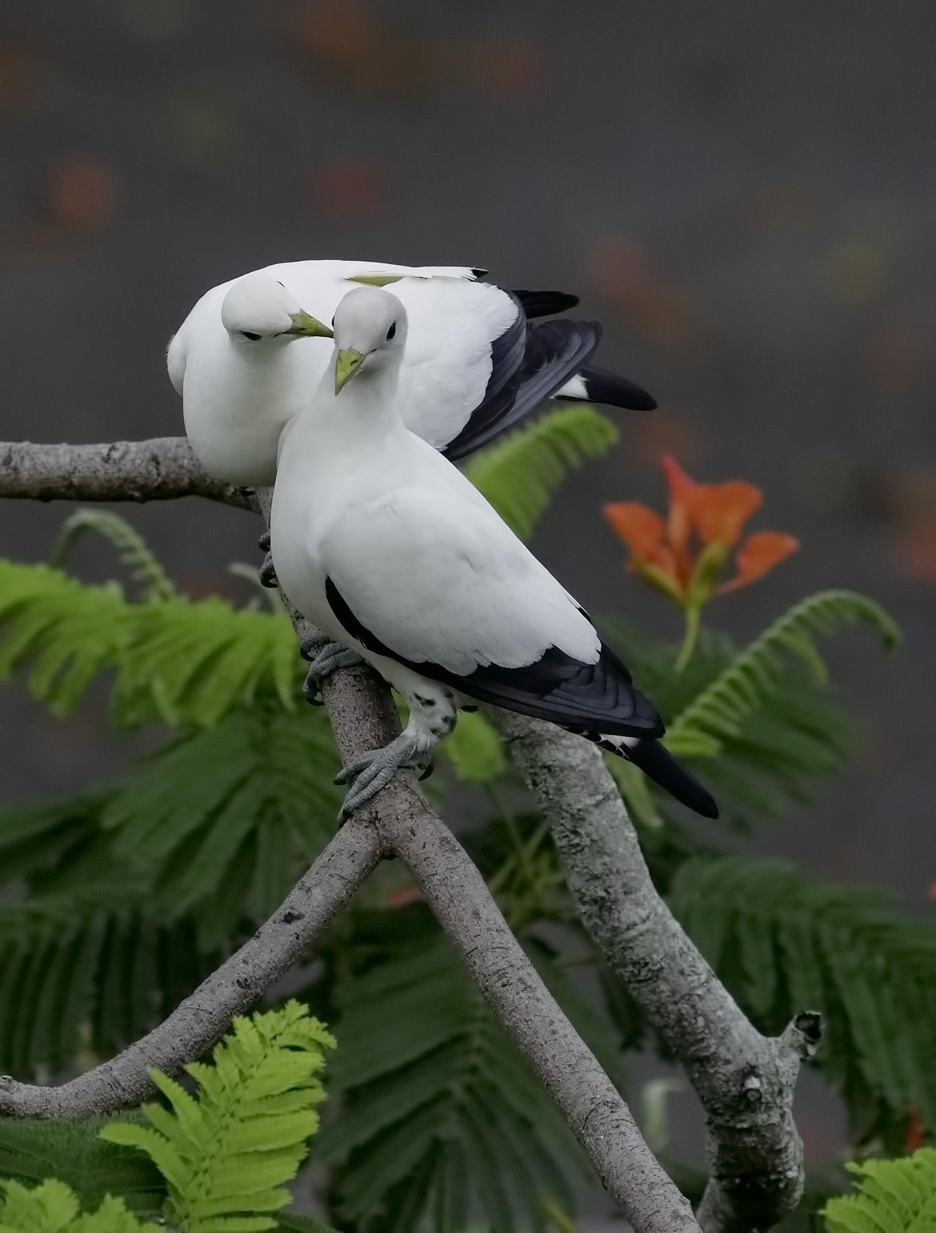 Torresian Imperial-Pigeon (Image ID 39579)