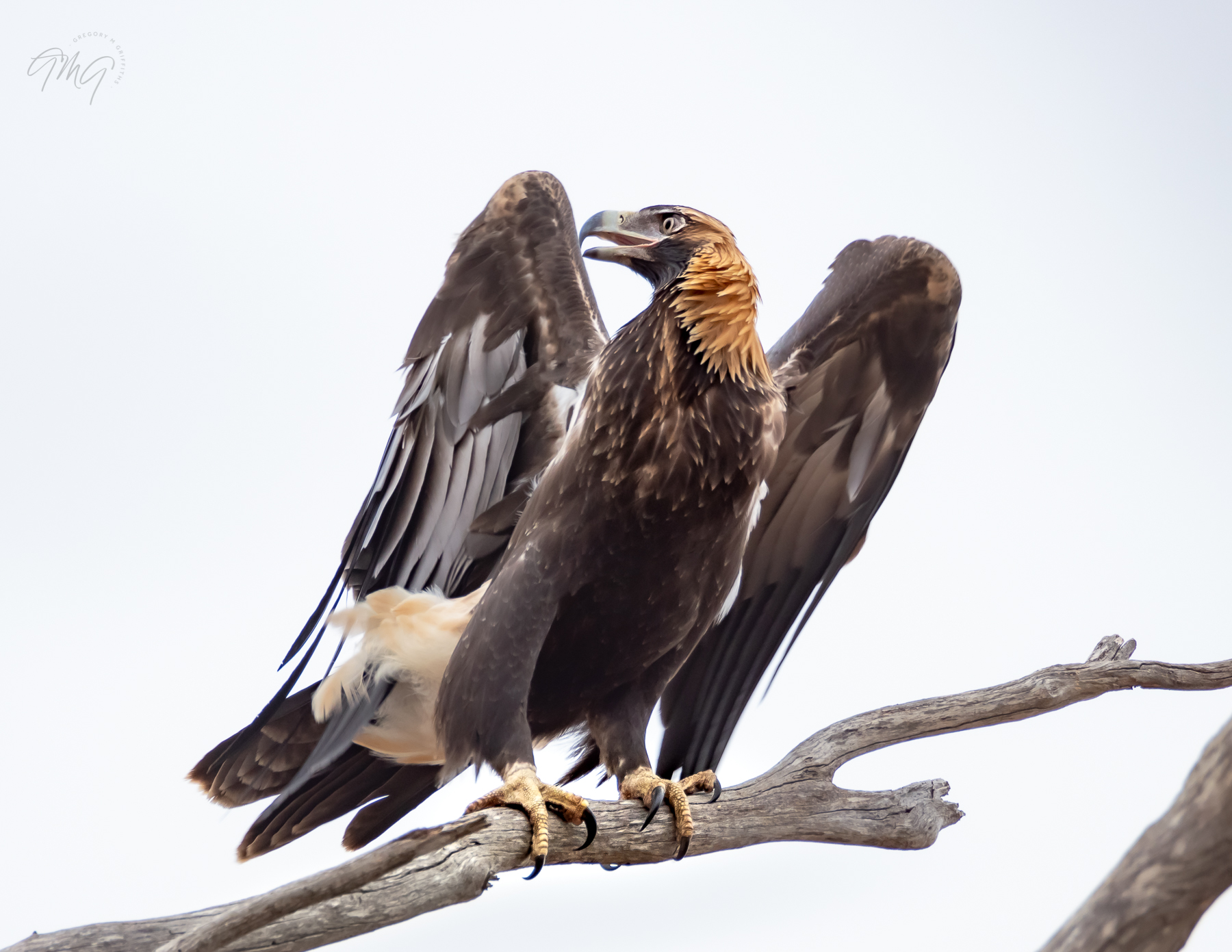 Wedge-tailed Eagle (Image ID 39606)