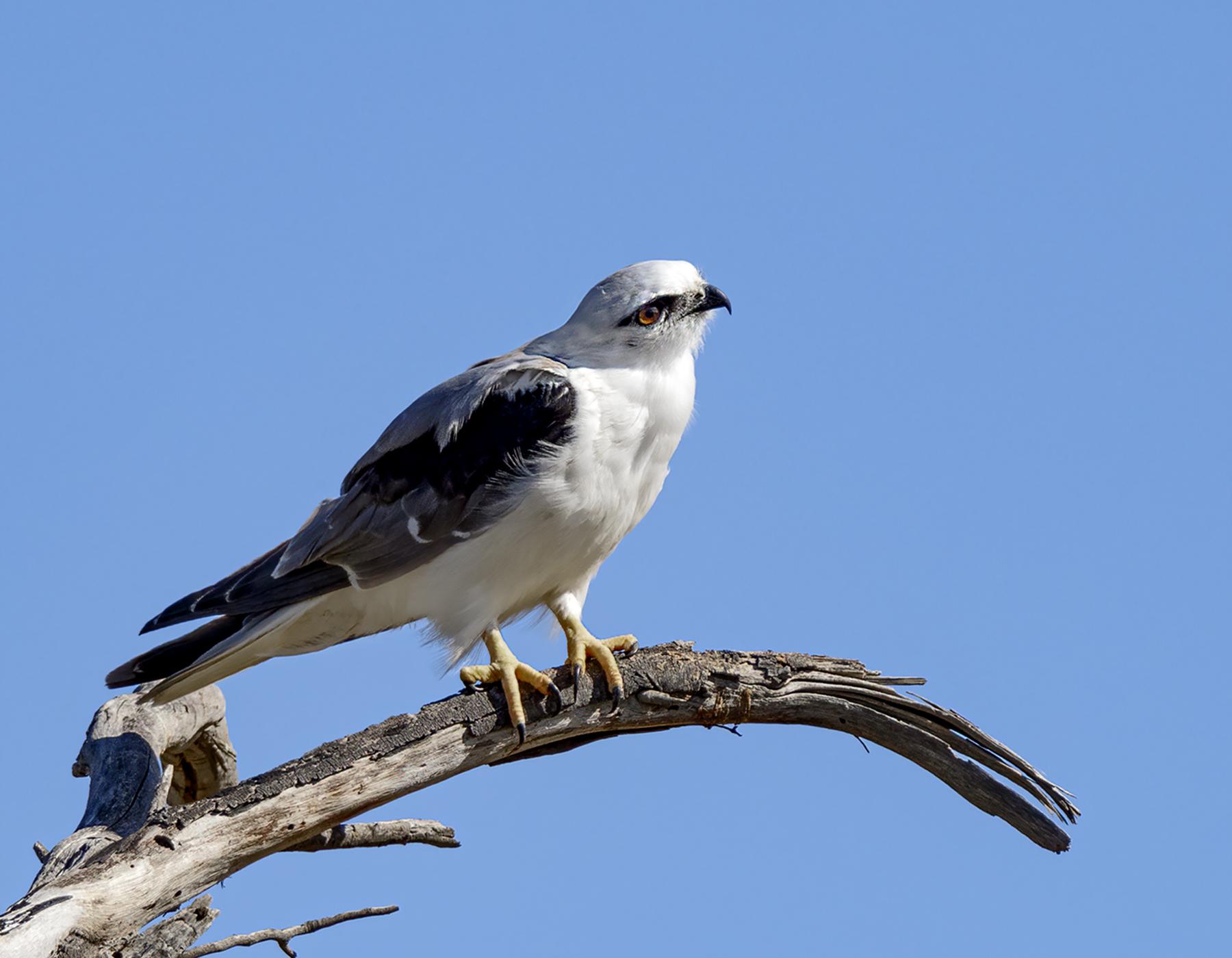 Black-shouldered Kite (Image ID 39565)