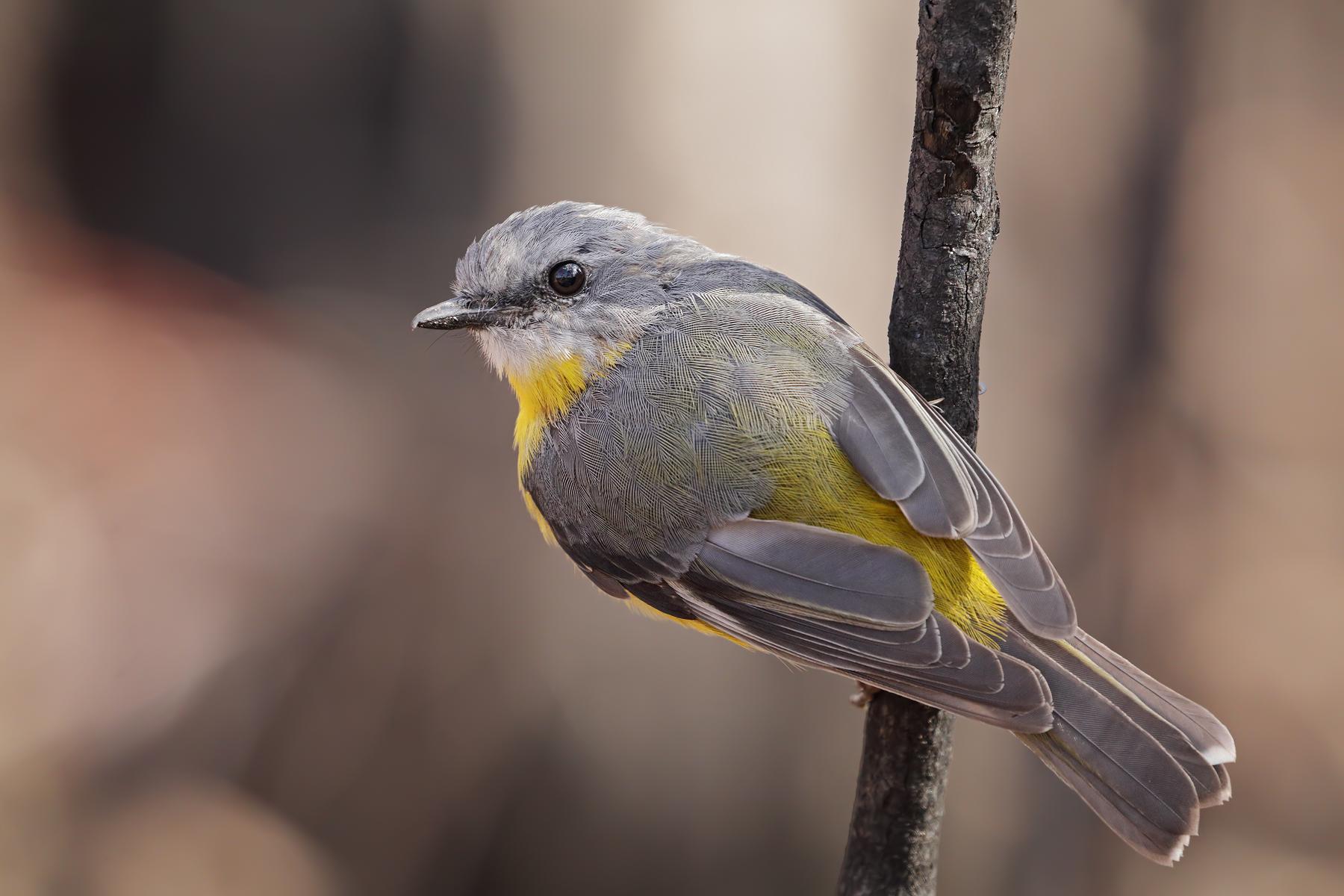 Eastern Yellow Robin (Image ID 39437)