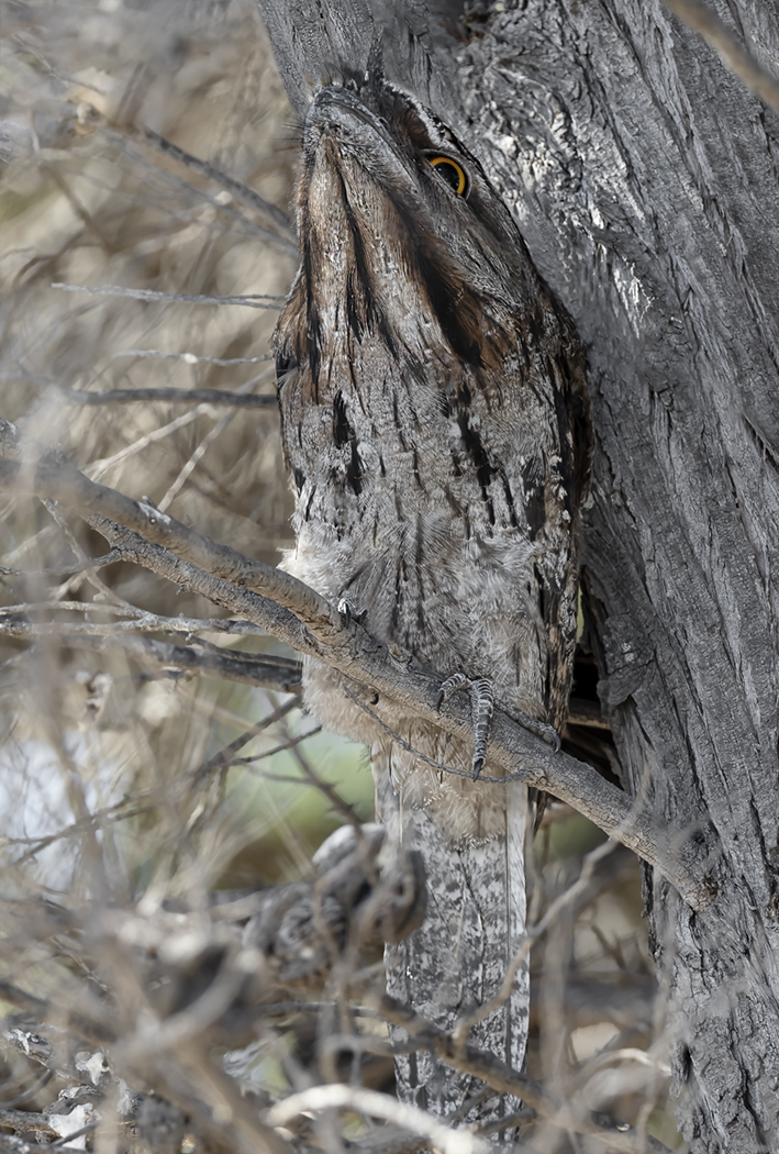 Tawny Frogmouth (Image ID 39433)