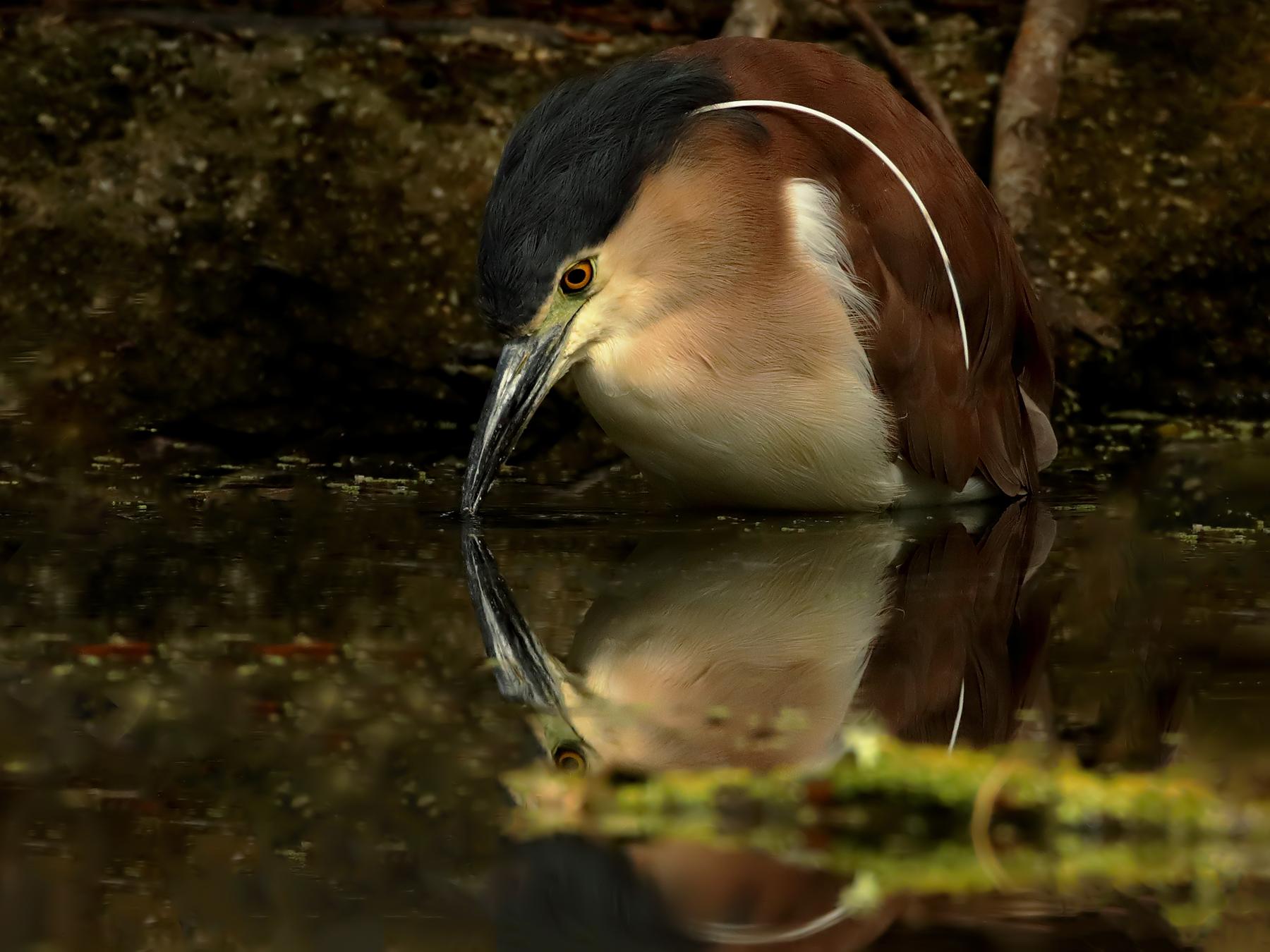 Nankeen Night-Heron (Image ID 39465)