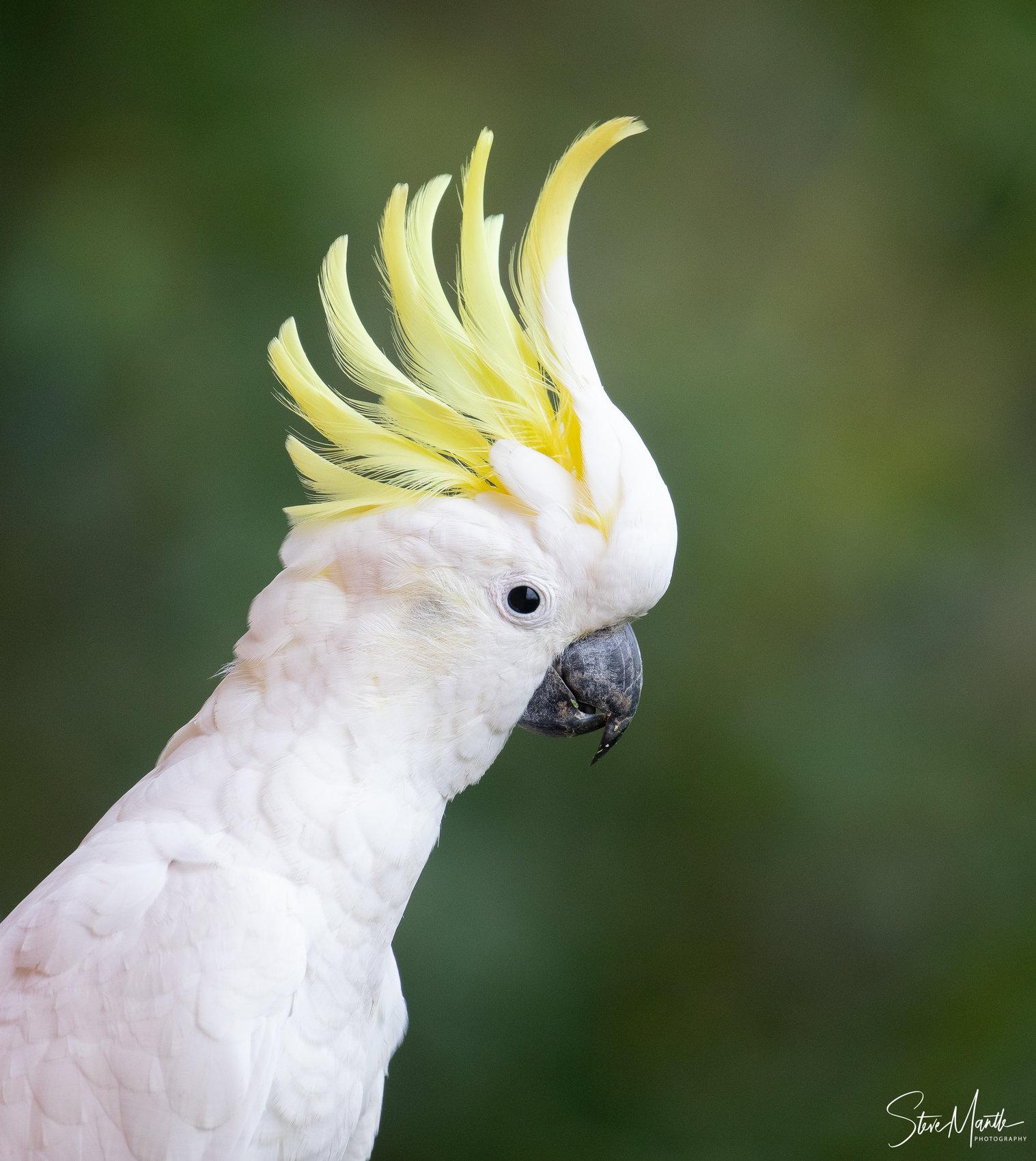 Sulphur-crested Cockatoo (Image ID 39566)