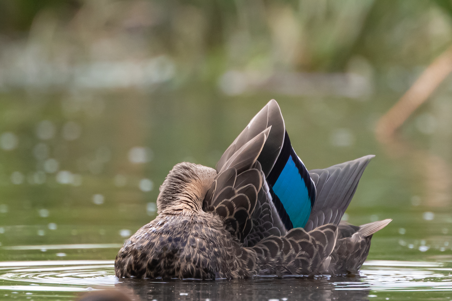 Pacific Black Duck (Image ID 39665)