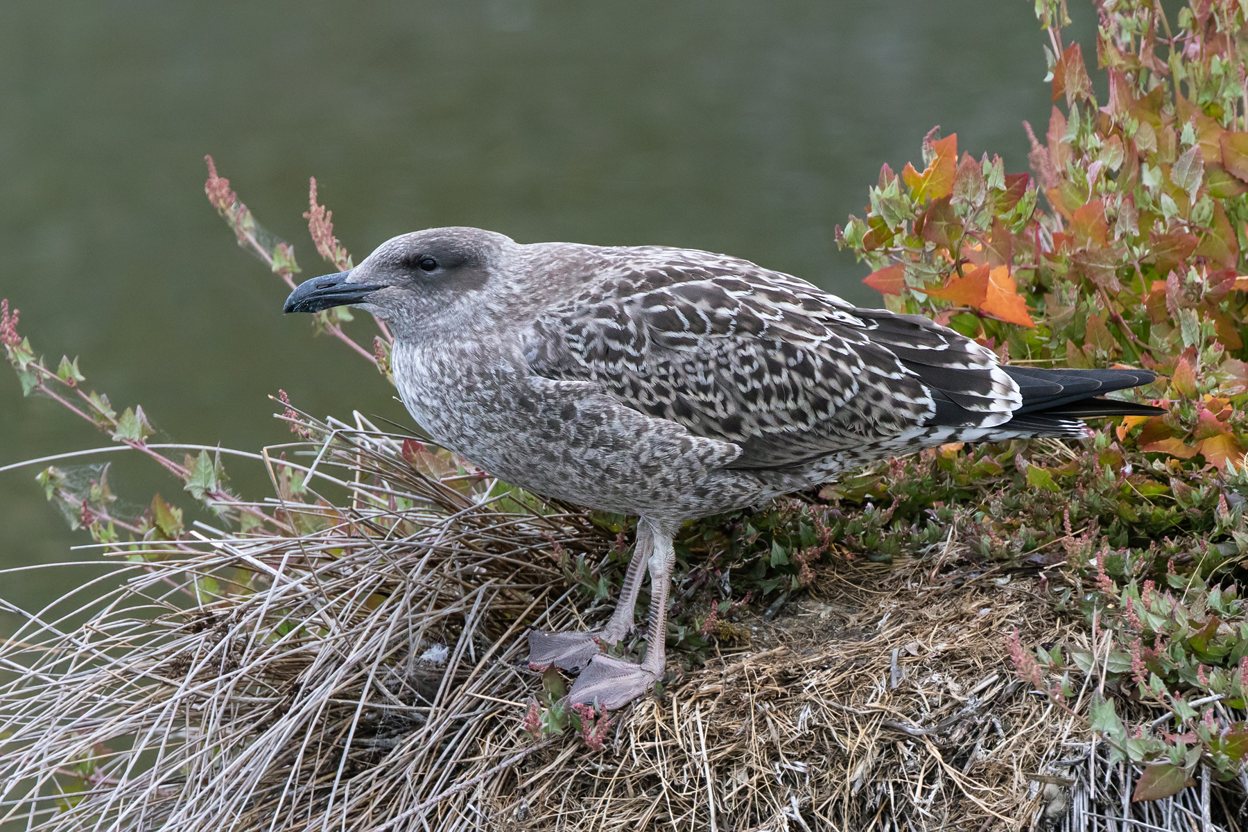 Kelp Gull (Image ID 39546)