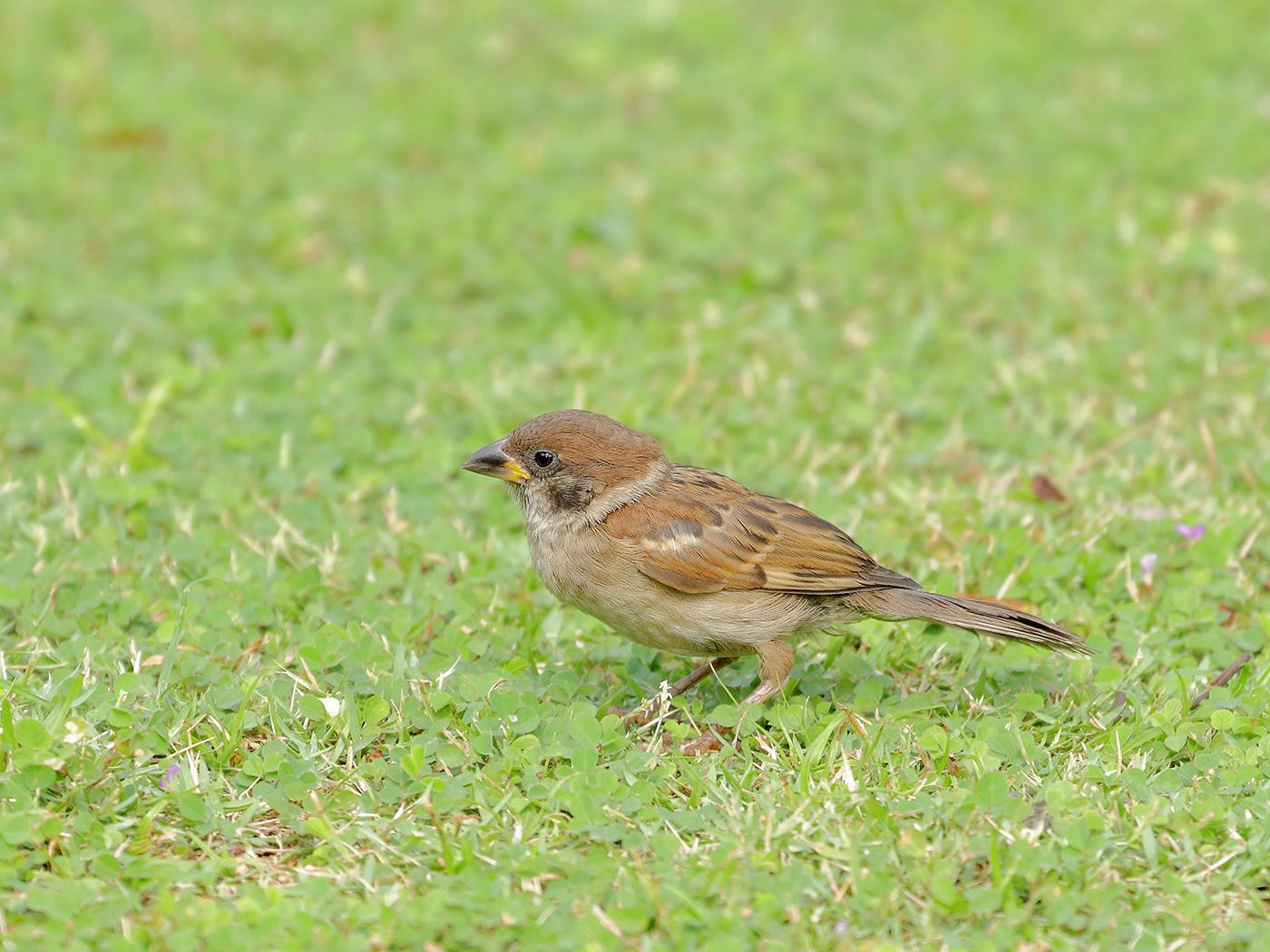 Eurasian Tree Sparrow (Image ID 39540)