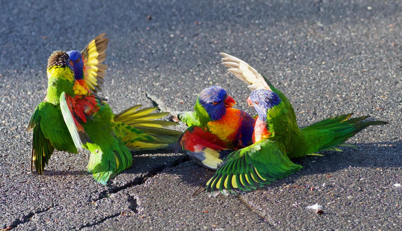 Rainbow Lorikeet (Image ID 40019)
