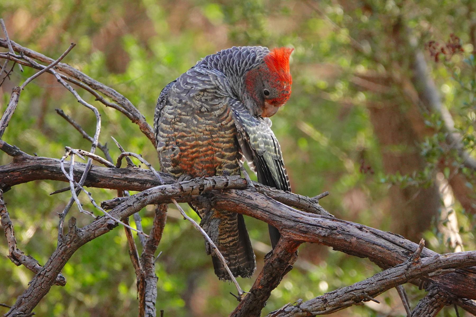 Gang-gang Cockatoo (Image ID 40074)